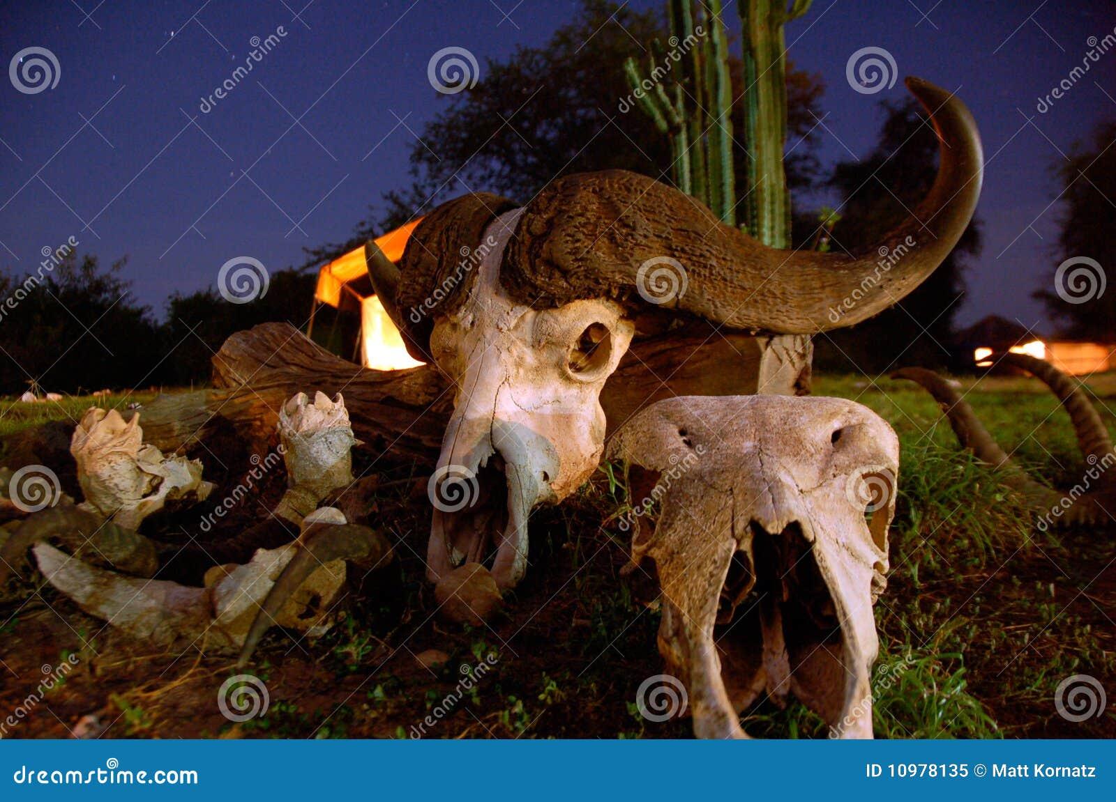 Büffel-Schädel mit Hupen