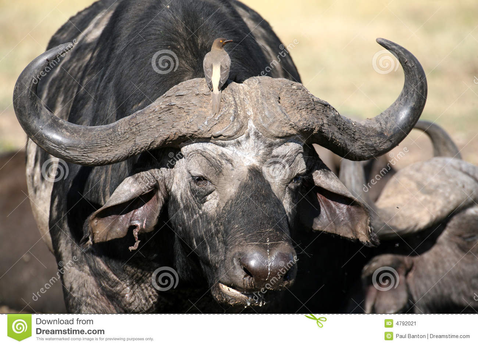 Büffel und Oxpecker (Kenia)