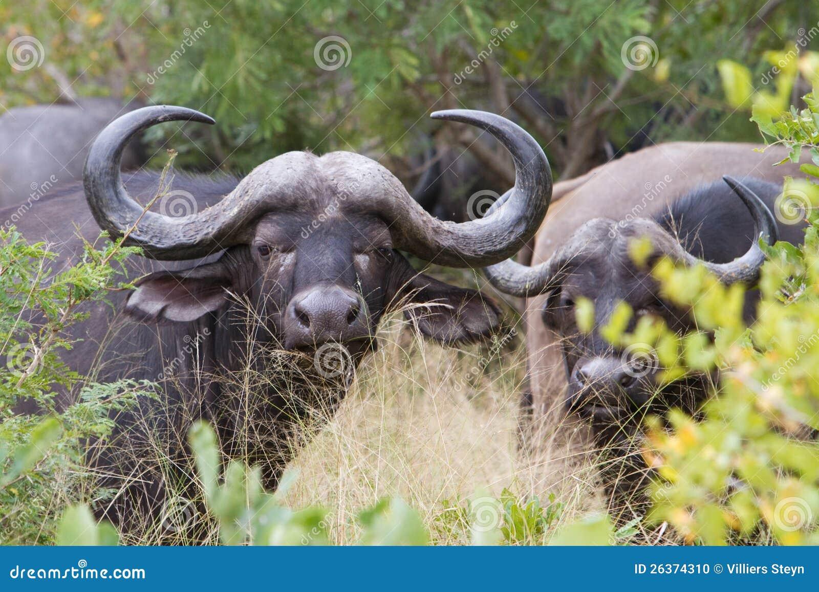 Büffelkuh