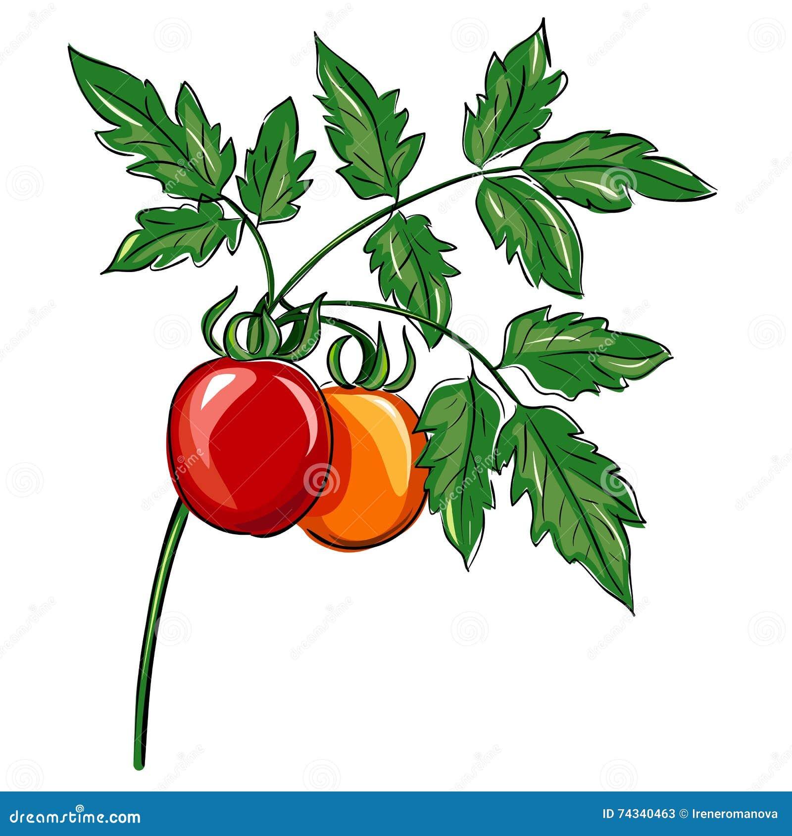 Bündel organische Tomaten auf der Anlage, auf weißem Hintergrund ПÐ?