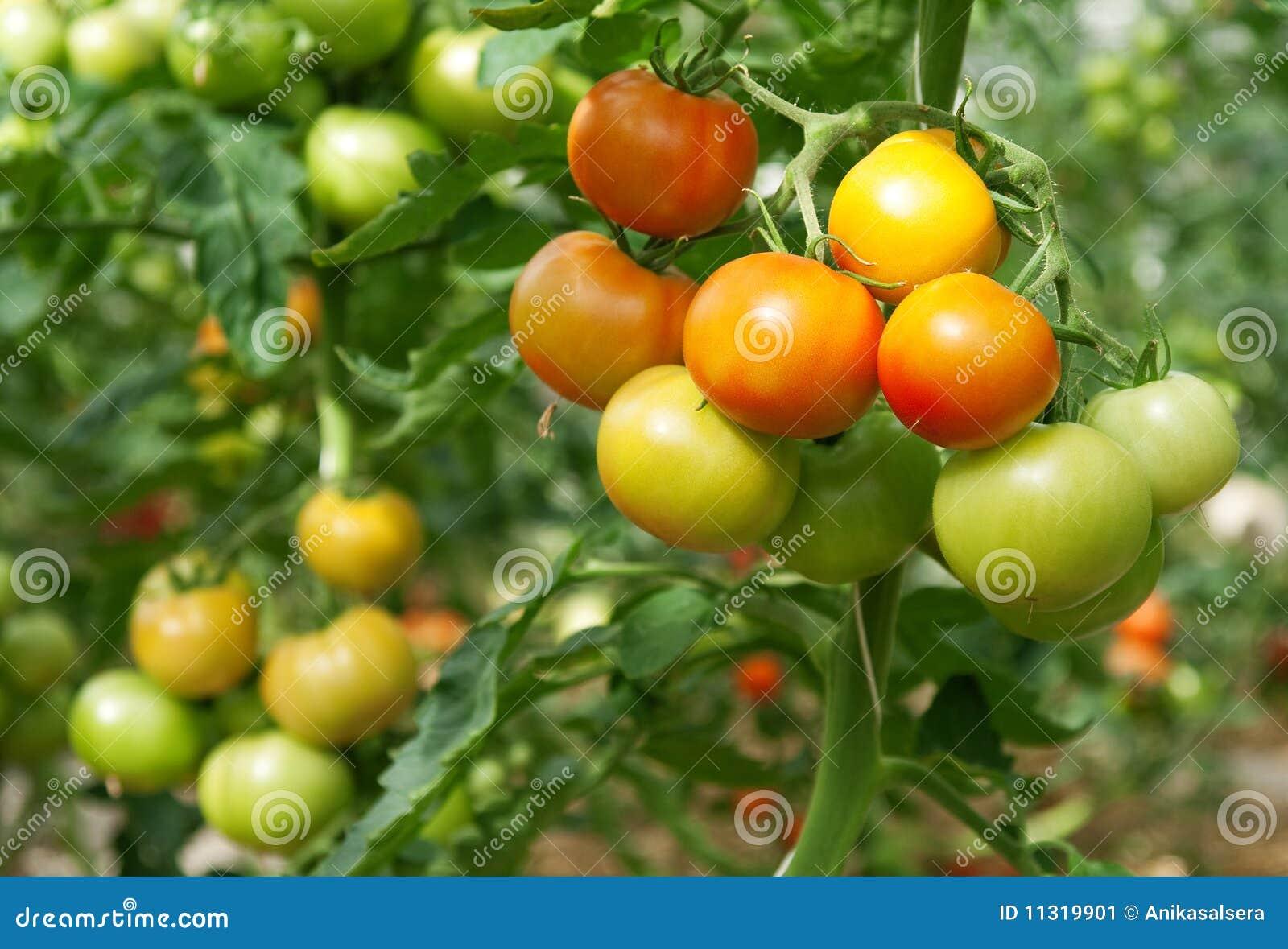 Bündel Tomaten in einem Gewächshaus