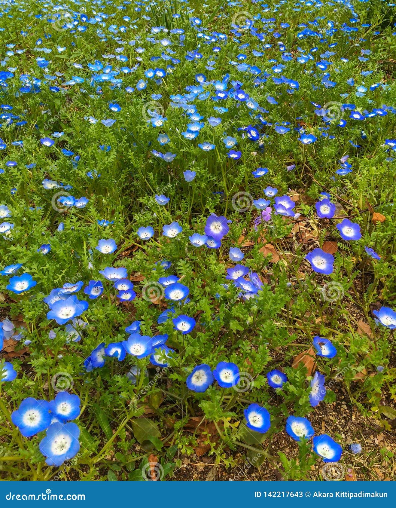 Błękit kwitnie na zielonej trawy ziemi