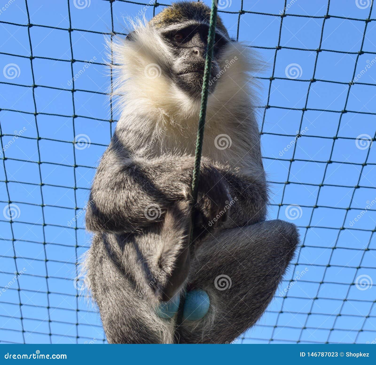 Błękitna Balled Vervet małpa Małpa z błękitnymi testicles w niewoli