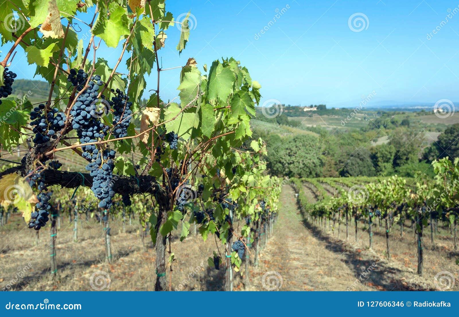 Błękitna winorośl w wineyard Kolorowy winnicy krajobraz w Włochy Winnica wiosłuje przy Tuscany w jesieni żniwa czasie