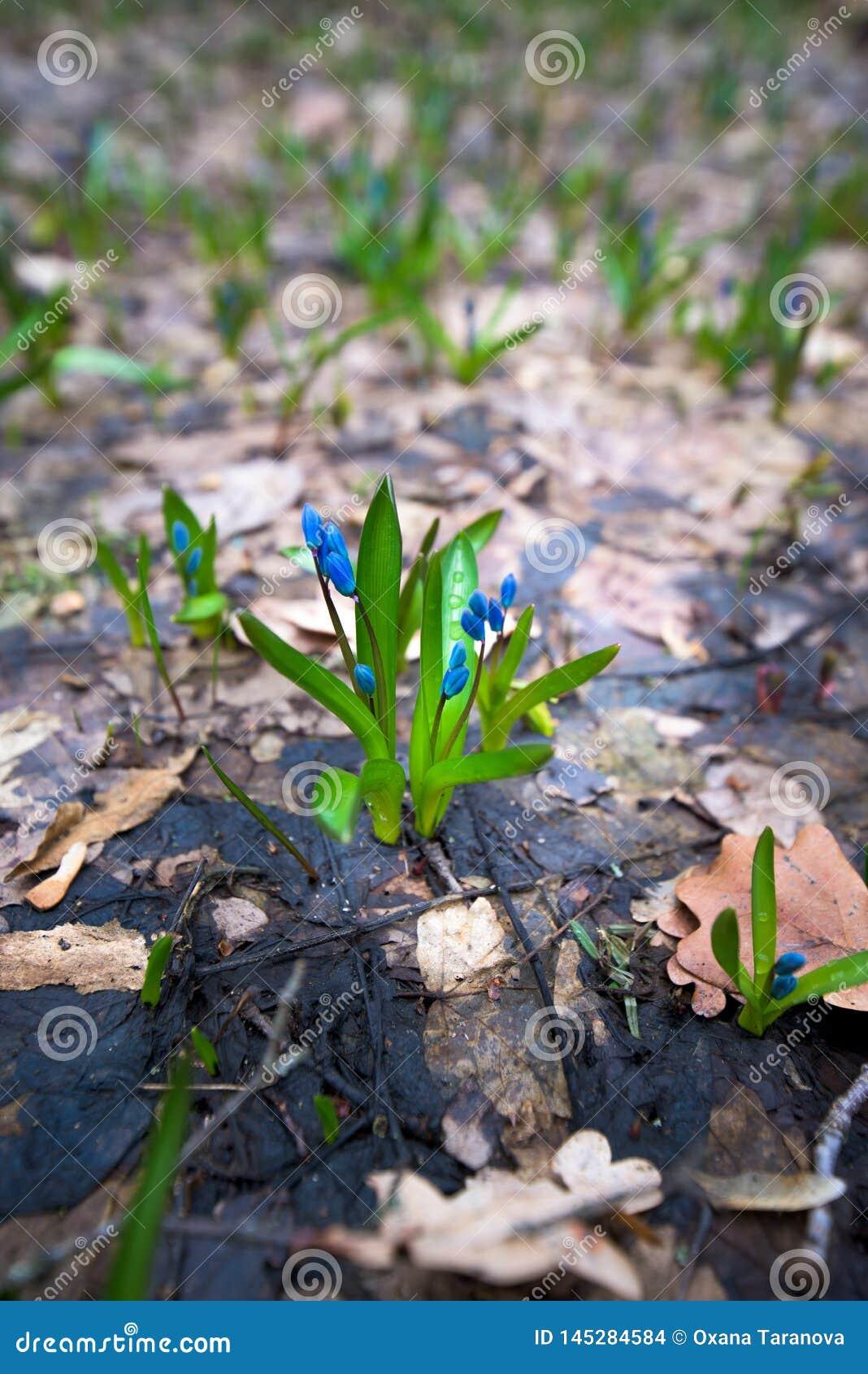 B??kitne ?nie?yczki, w g?r? wiosna kwitnie w lesie w Marzec T?o fotografia