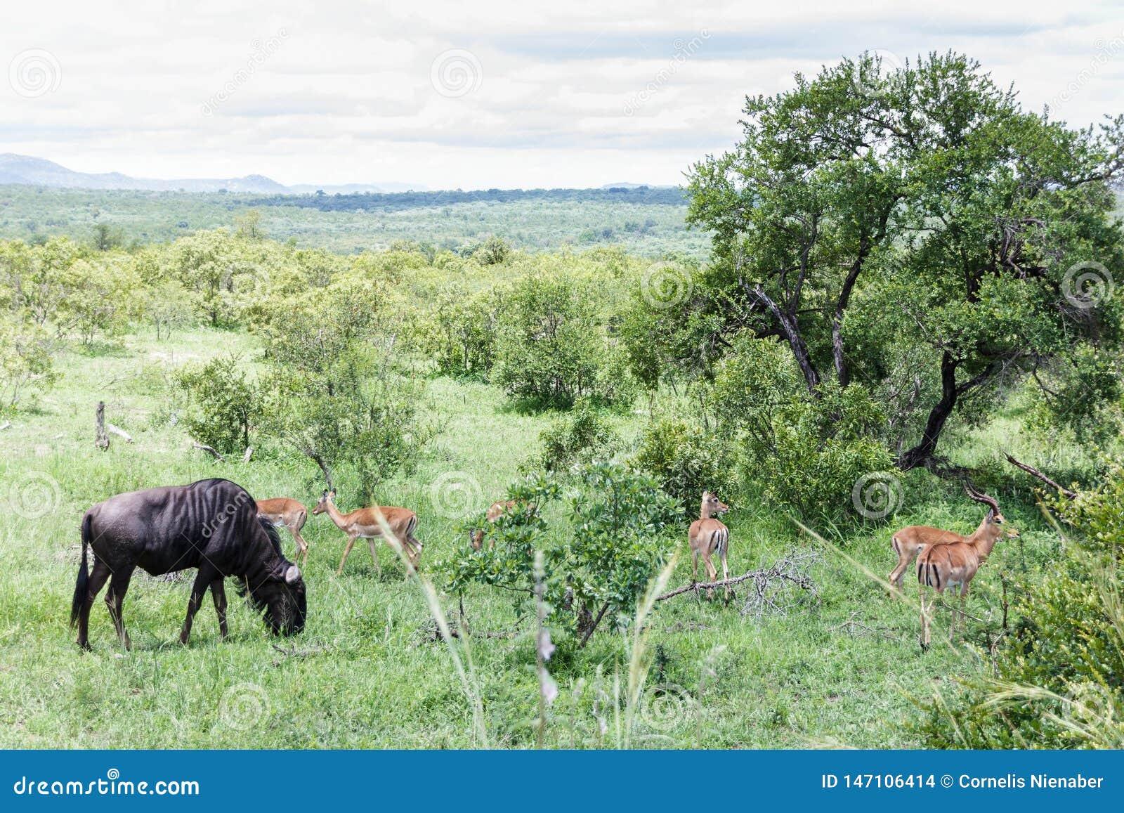 Błękitne Wildebeest i Impala antylopy