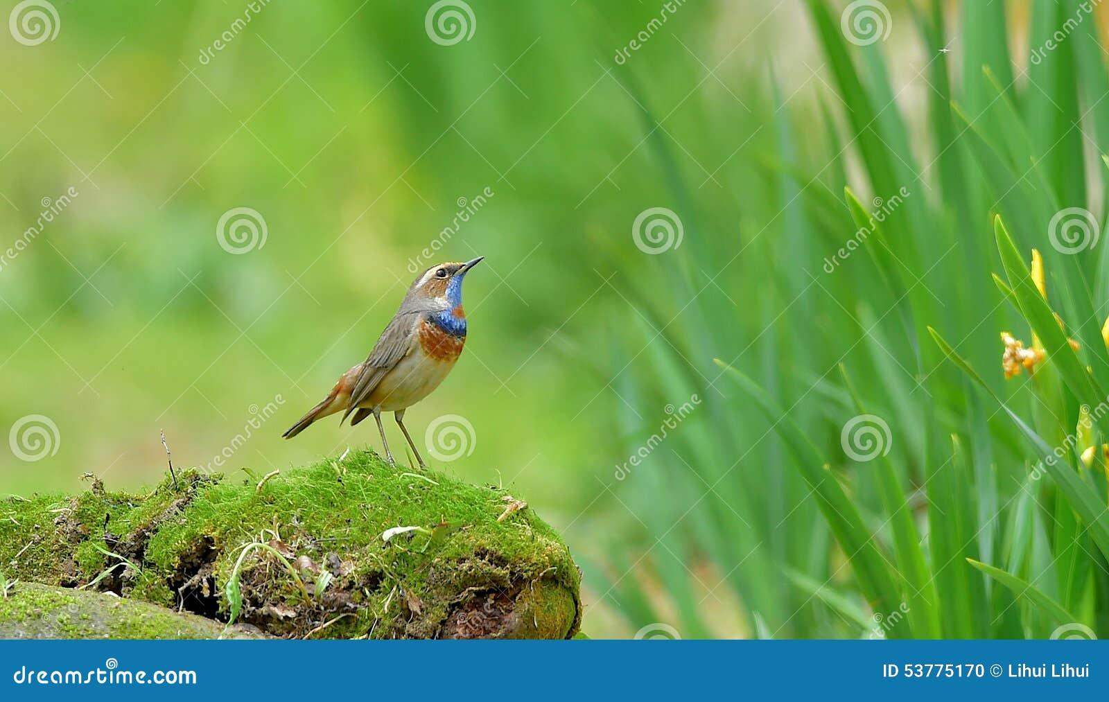 Błękitnego gardła Luscinia