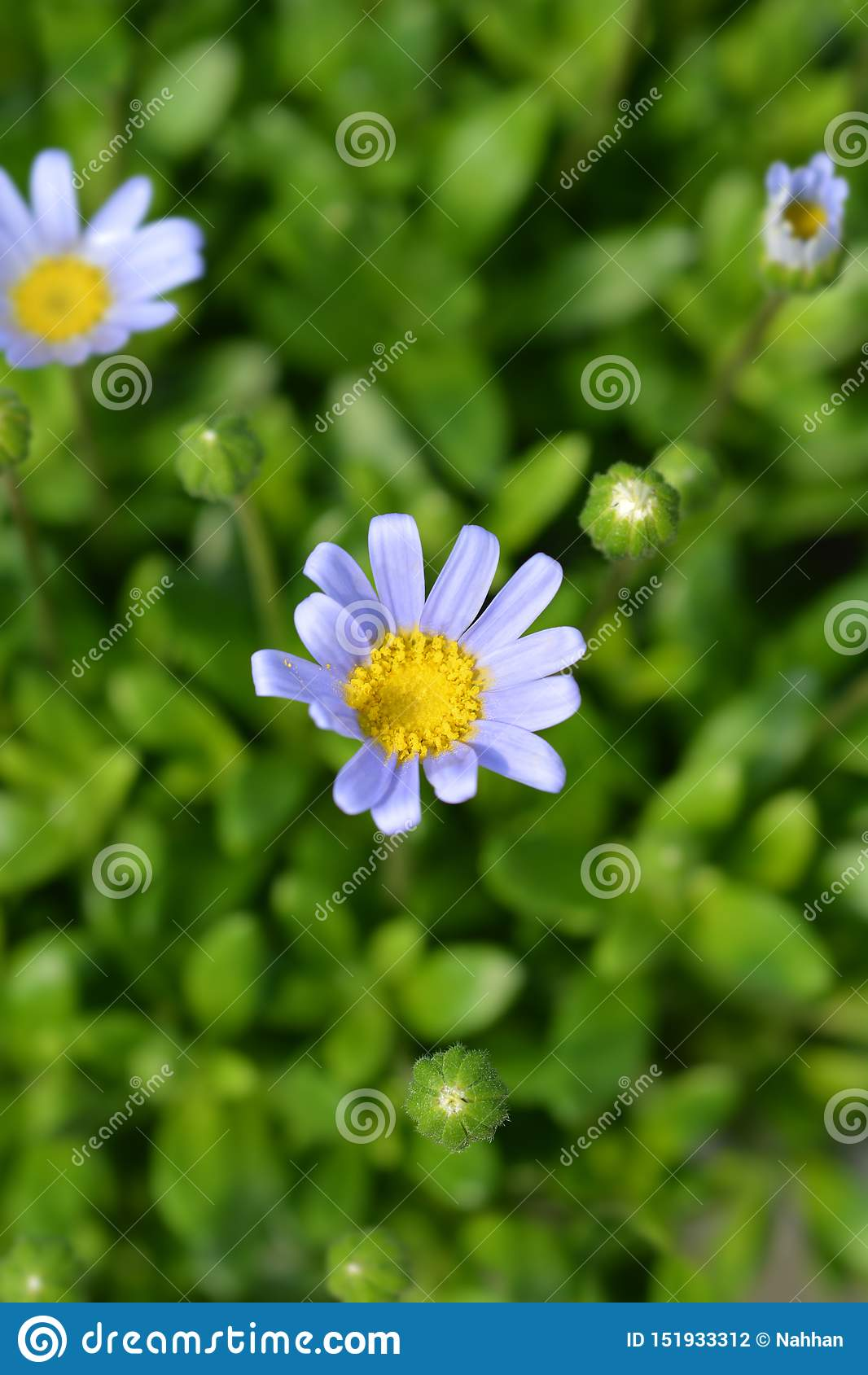 Błękitnej stokrotki Felicitara błękit