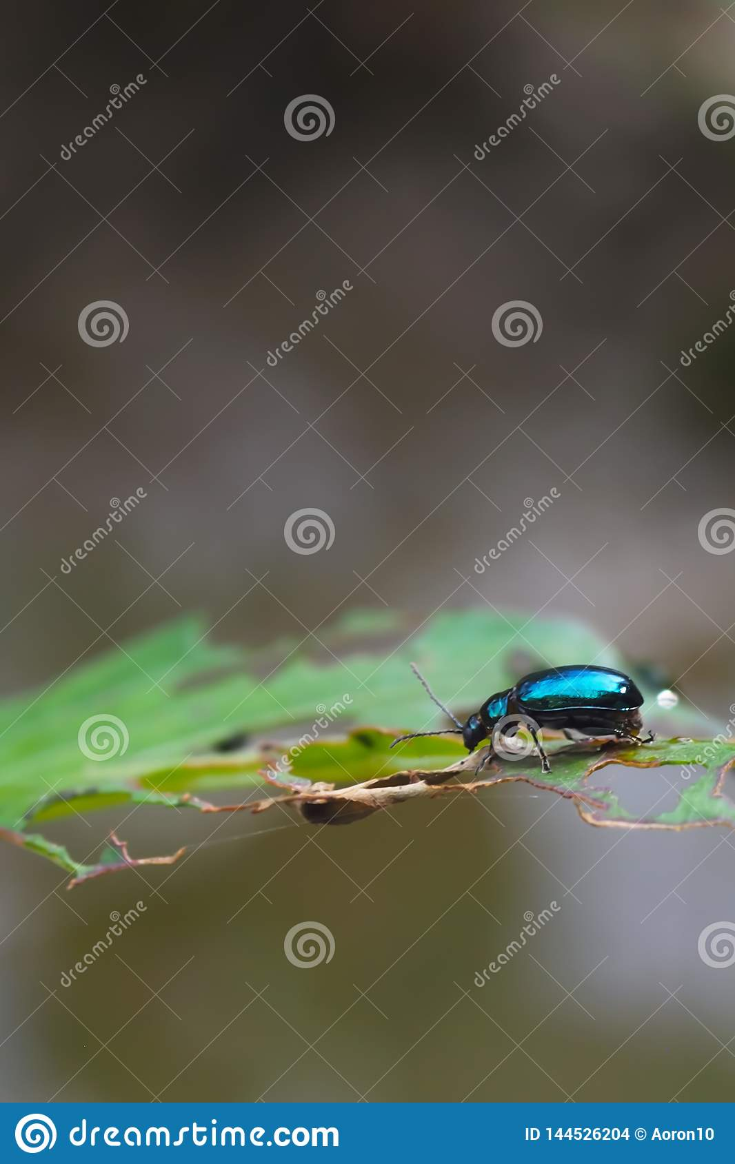 Błękitni insekty na liściach z dziurami, w naturalnym tle