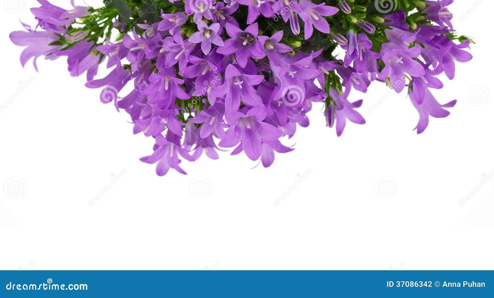 Download Błękitni kampanula kwiaty zdjęcie stock. Obraz złożonej z wiązka - 37086342