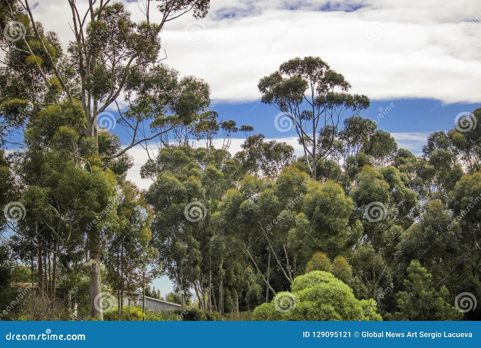 Błękitni whispy nieba z zielonymi drzewami Napier, Zachodni przylądek, Południowa Afryka