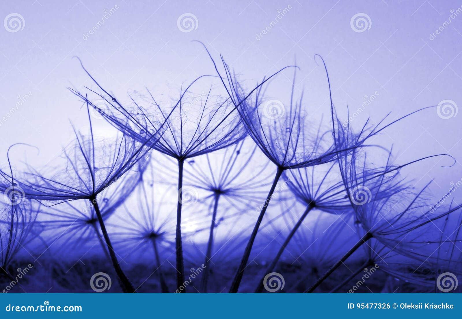 Błękitny abstrakcjonistyczny dandelion kwiatu tło, zbliżenie