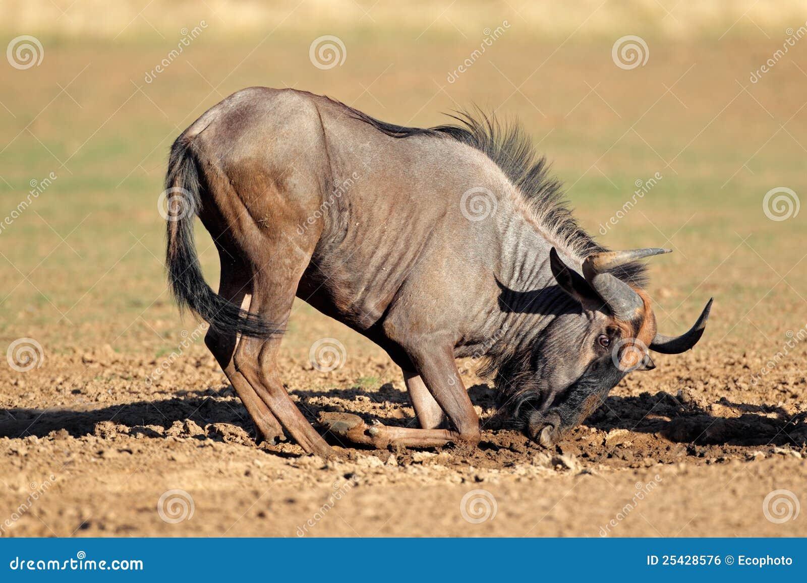 Błękitny bawić się wildebeest