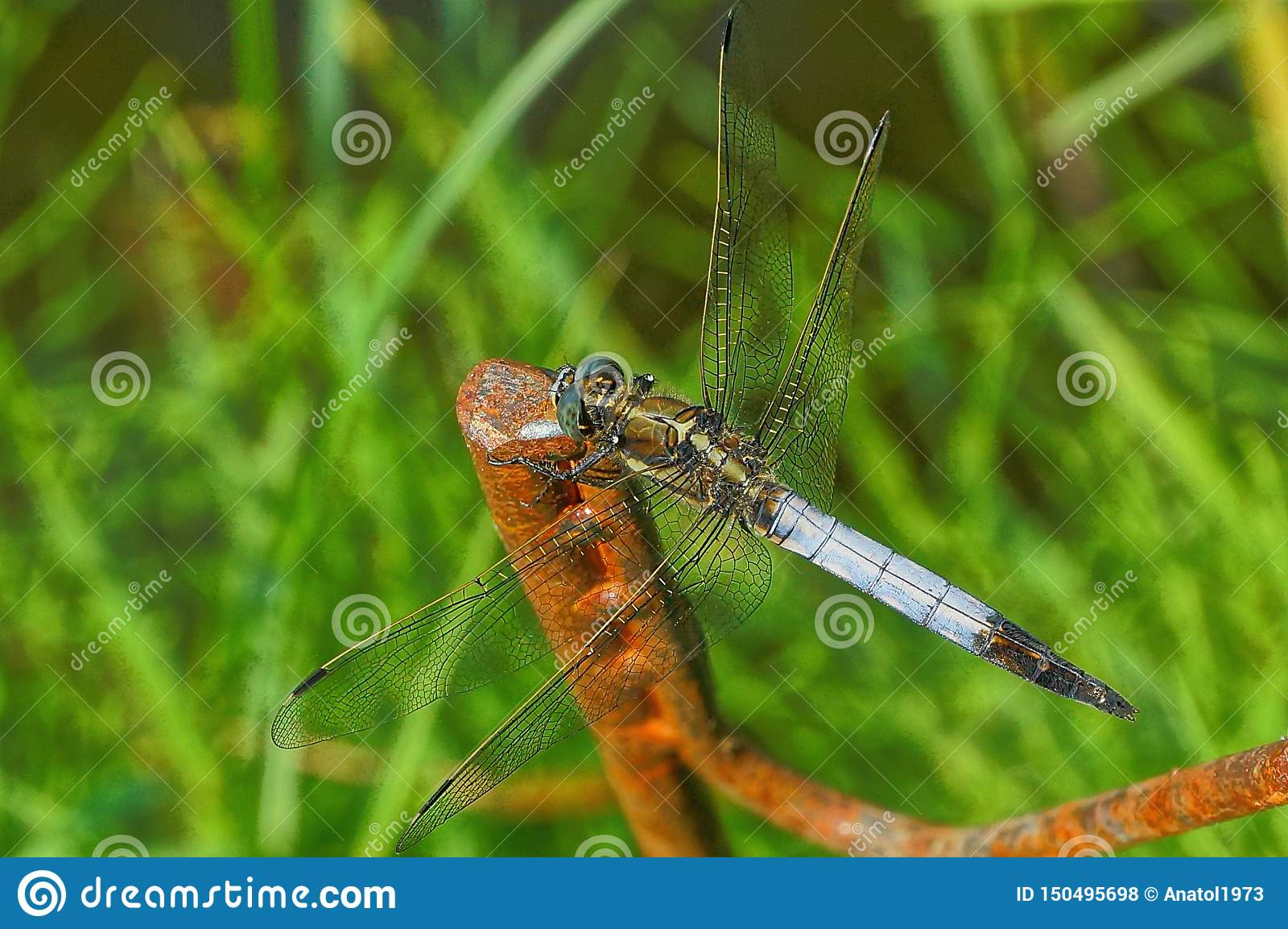 Błękitny dragonfly siedzi na ośniedziałym prąciu w zielonej trawie