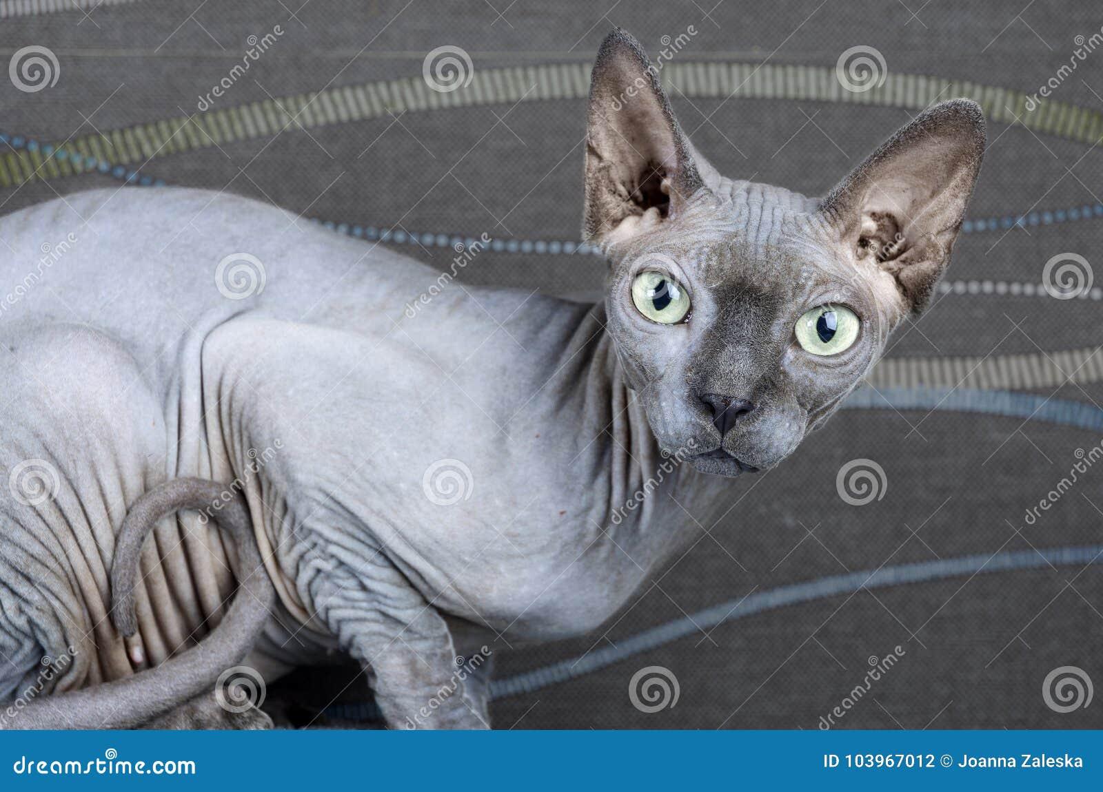 Błękitny Kanadyjczyka Sphynx Kot Zdjęcie Stock Obraz Złożonej Z