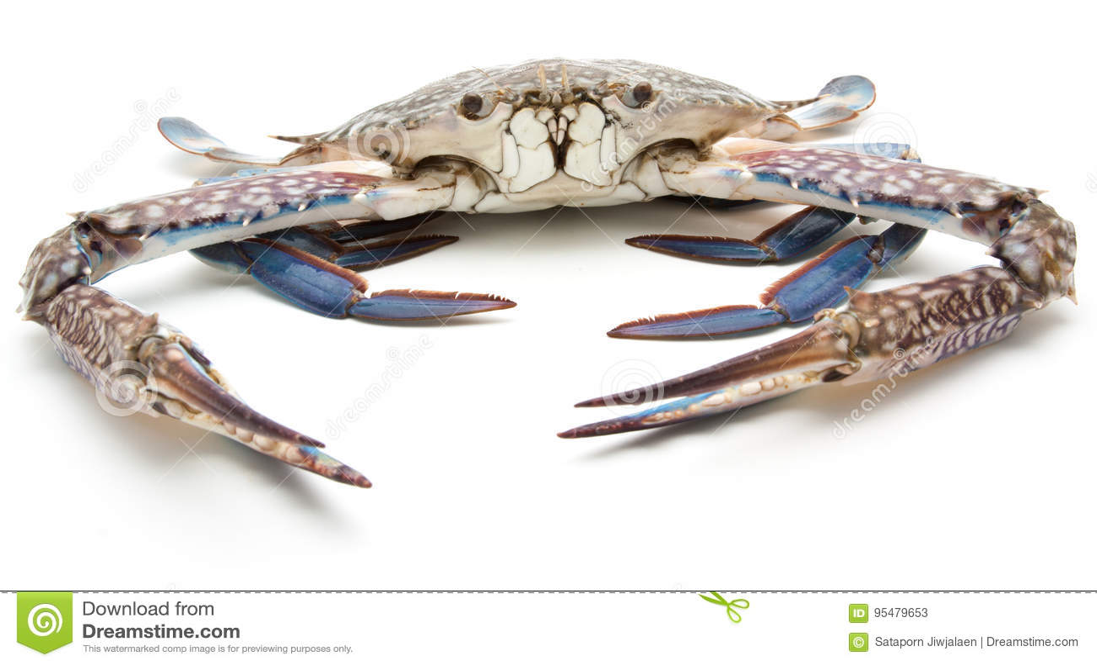 Błękitny krab odizolowywający na bielu