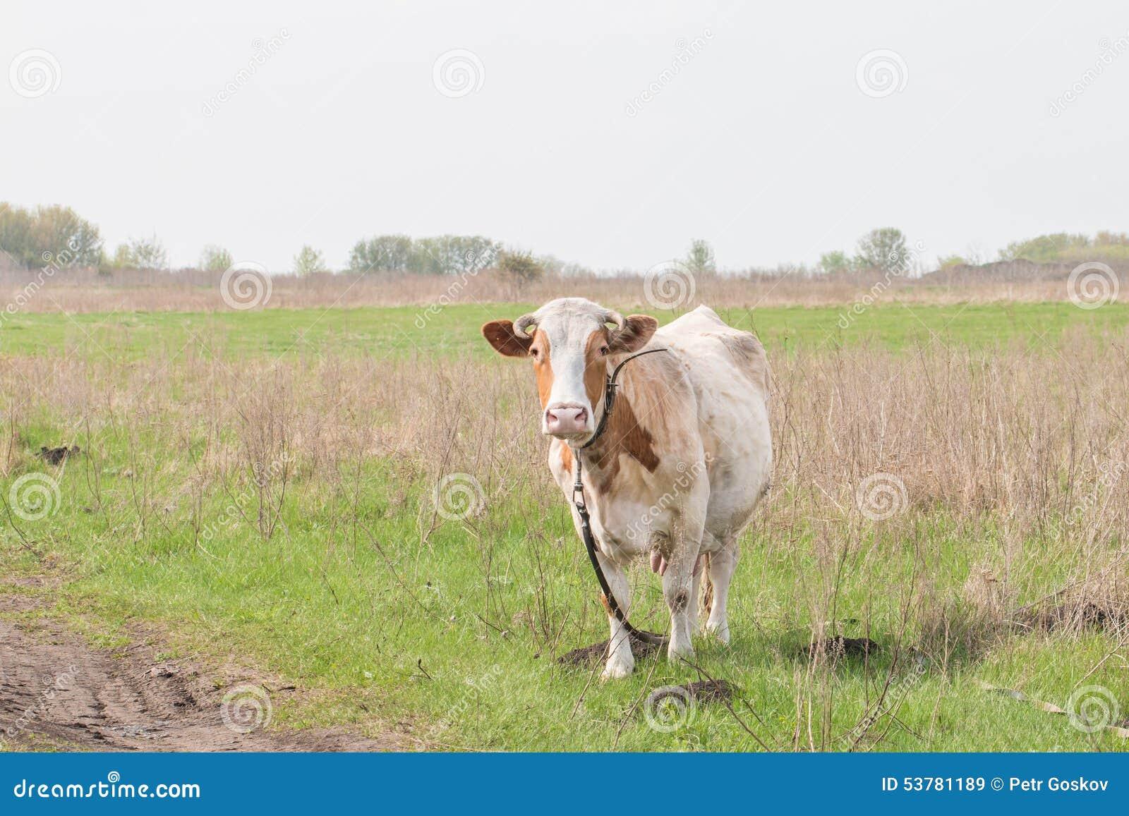 Błękitny krowy krów zmroku krajobrazu paśnika wiejski nieba lato