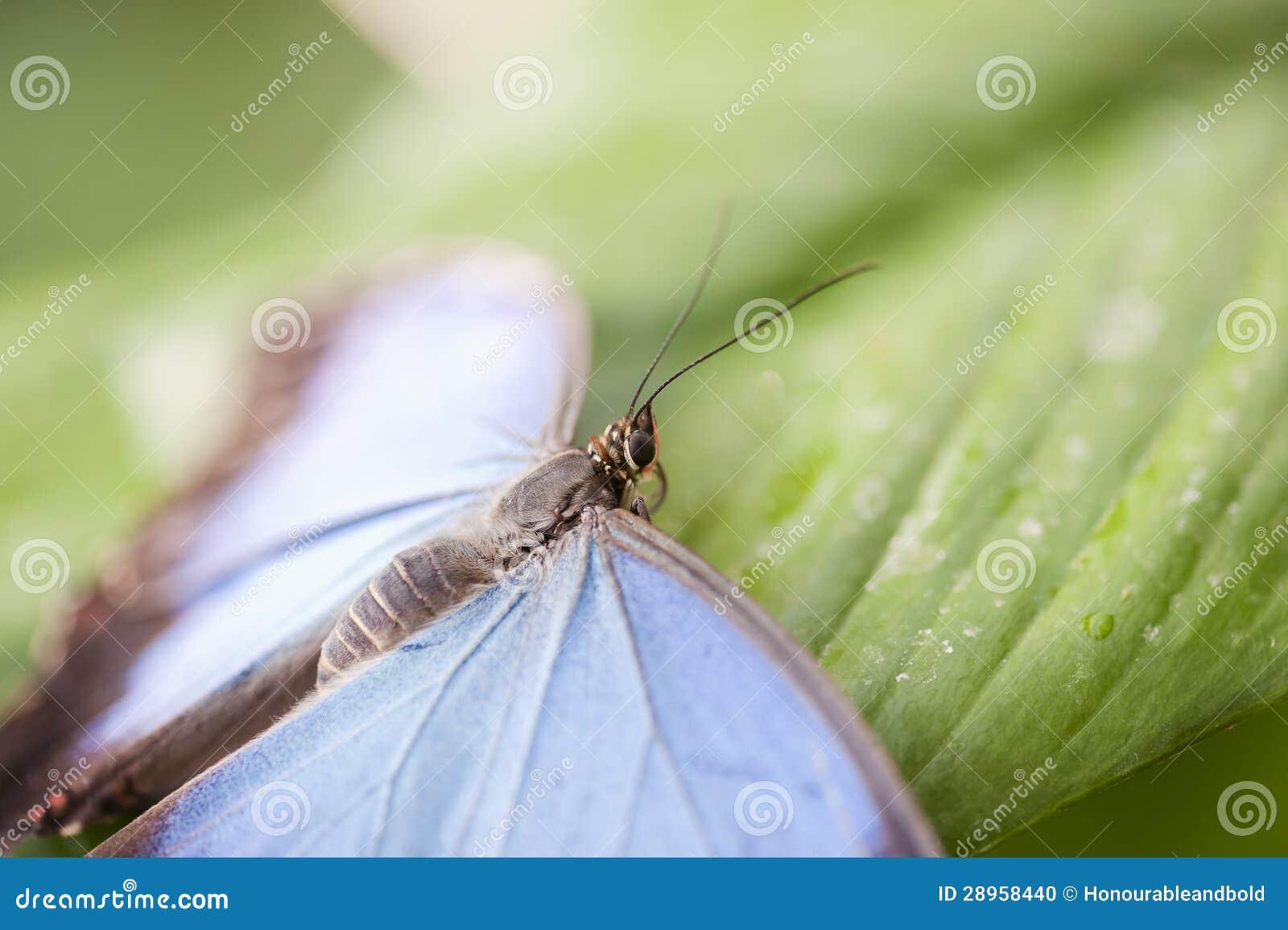 Błękitny Morpho motyl