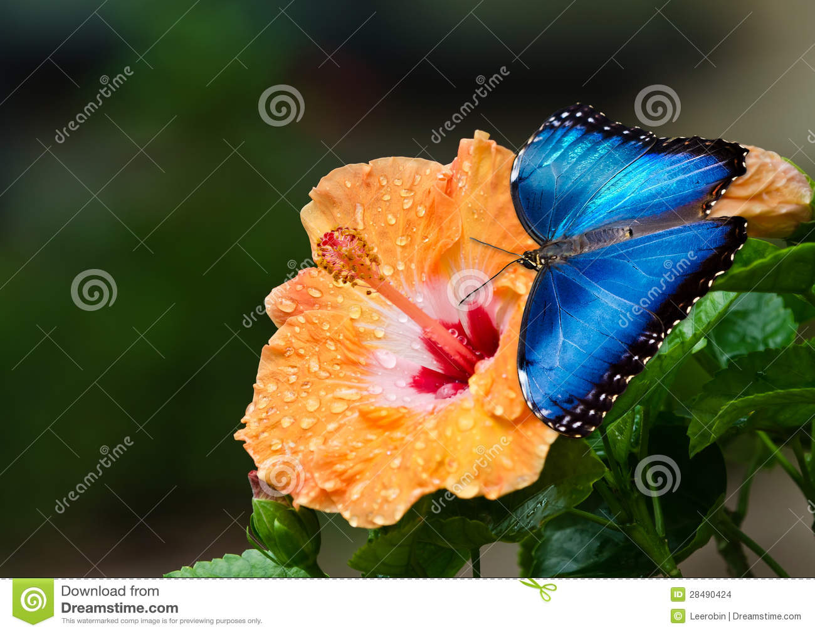 Błękitny Morpho motyl na żółtym poślubnika kwiacie