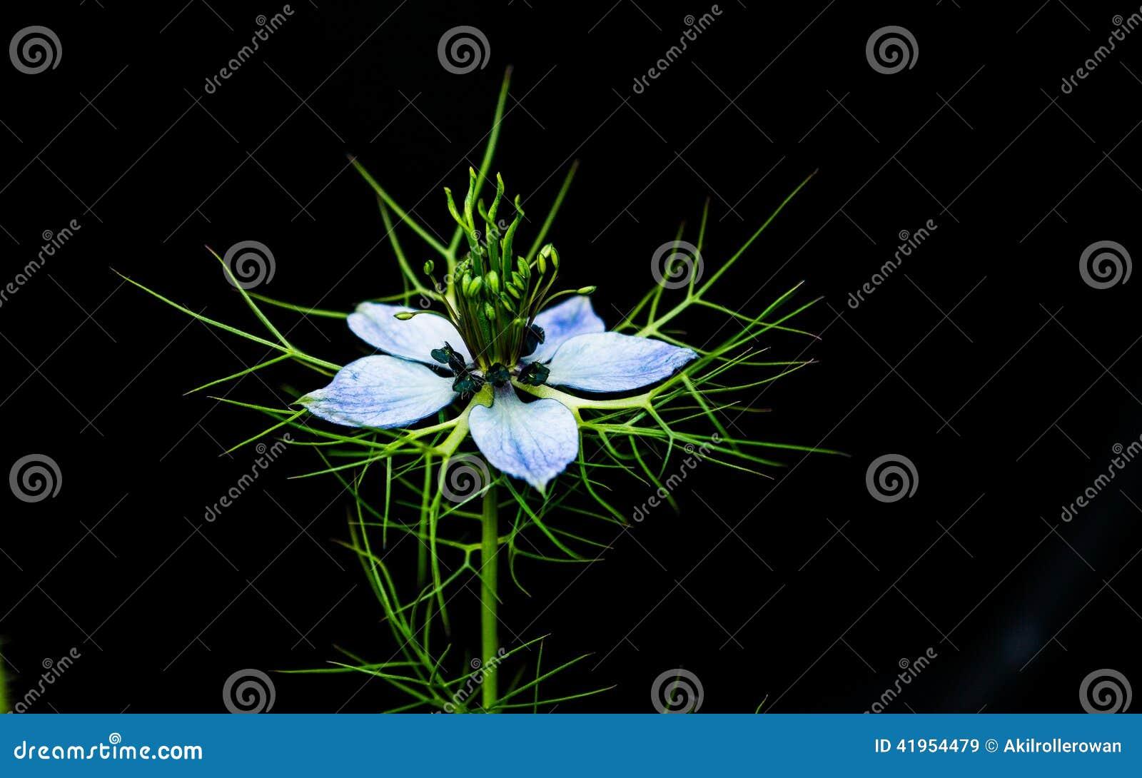 Błękitny Nigella Damascena kwiat