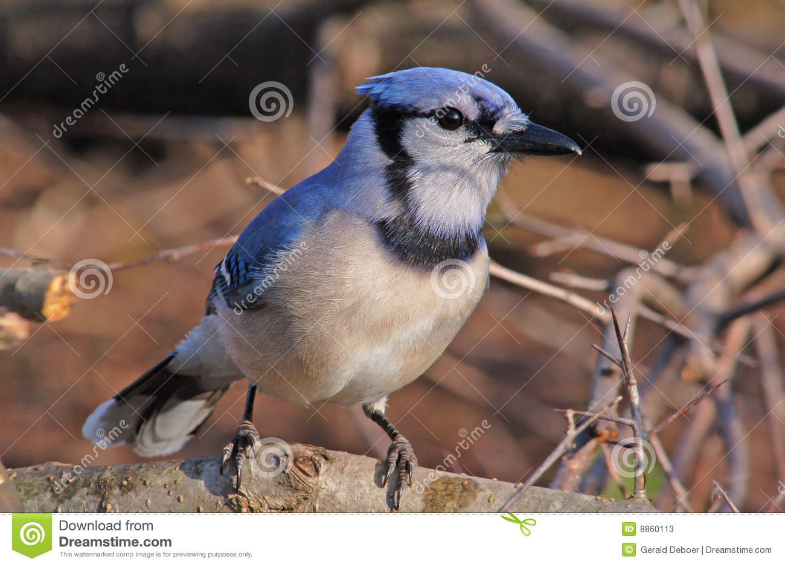 Błękitny sójka