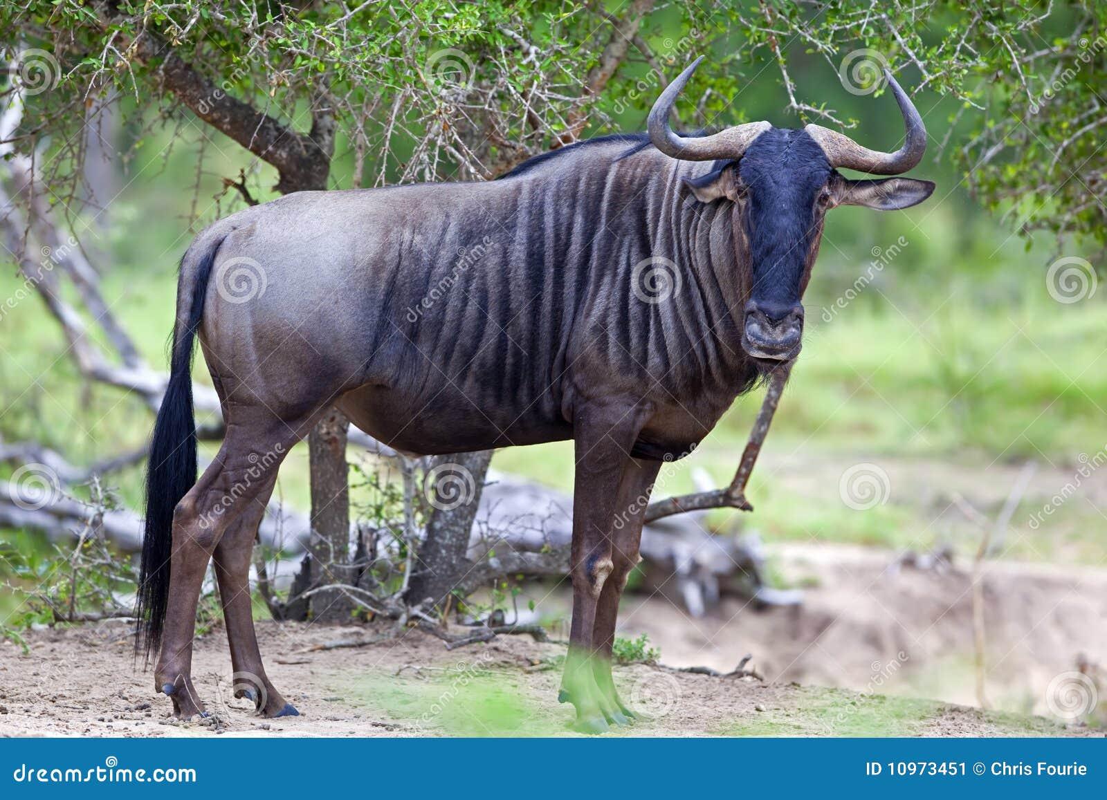 Błękitny wildebeest