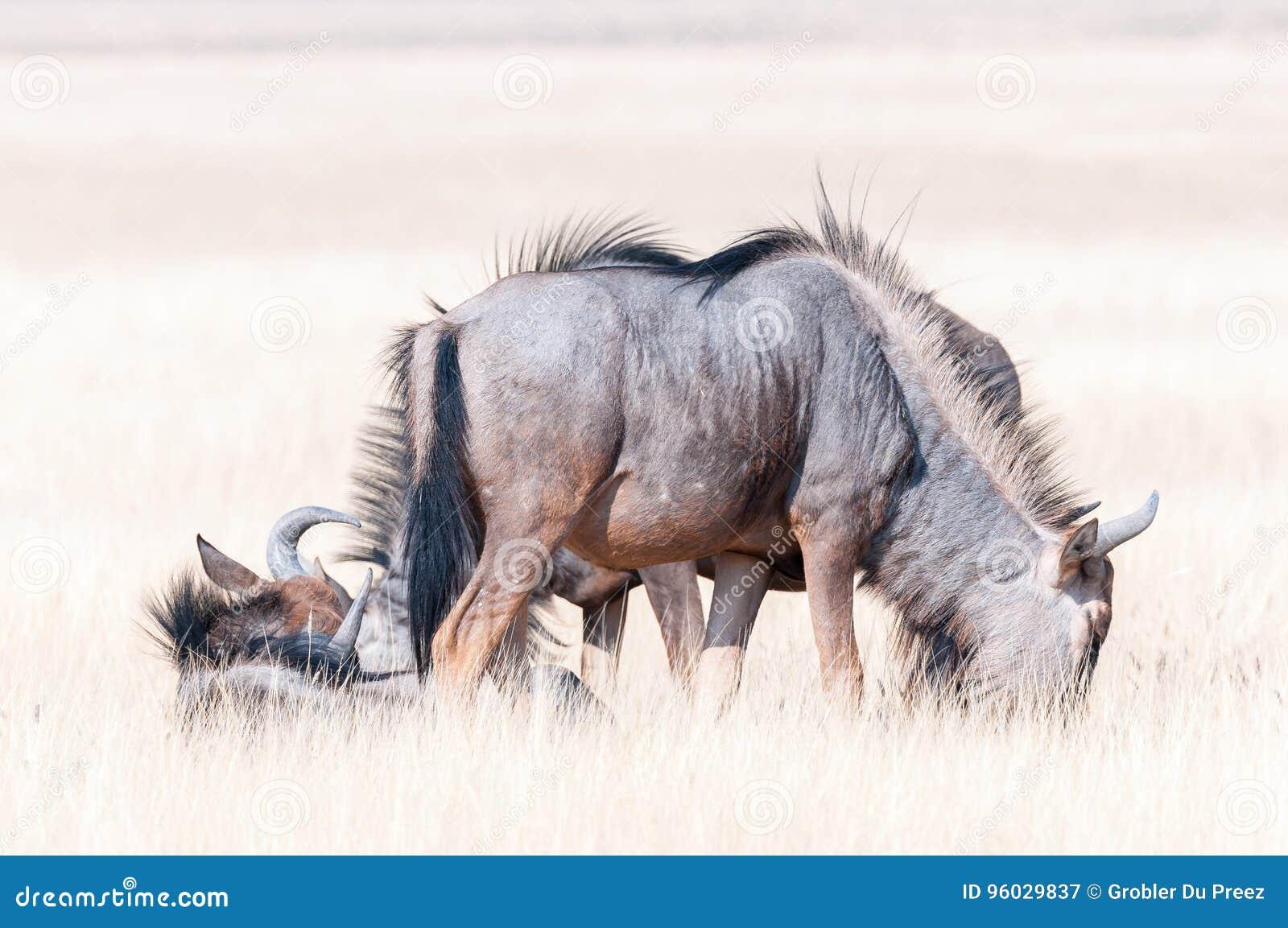 Błękitny wildebeest lying on the beach w trawie i pasanie