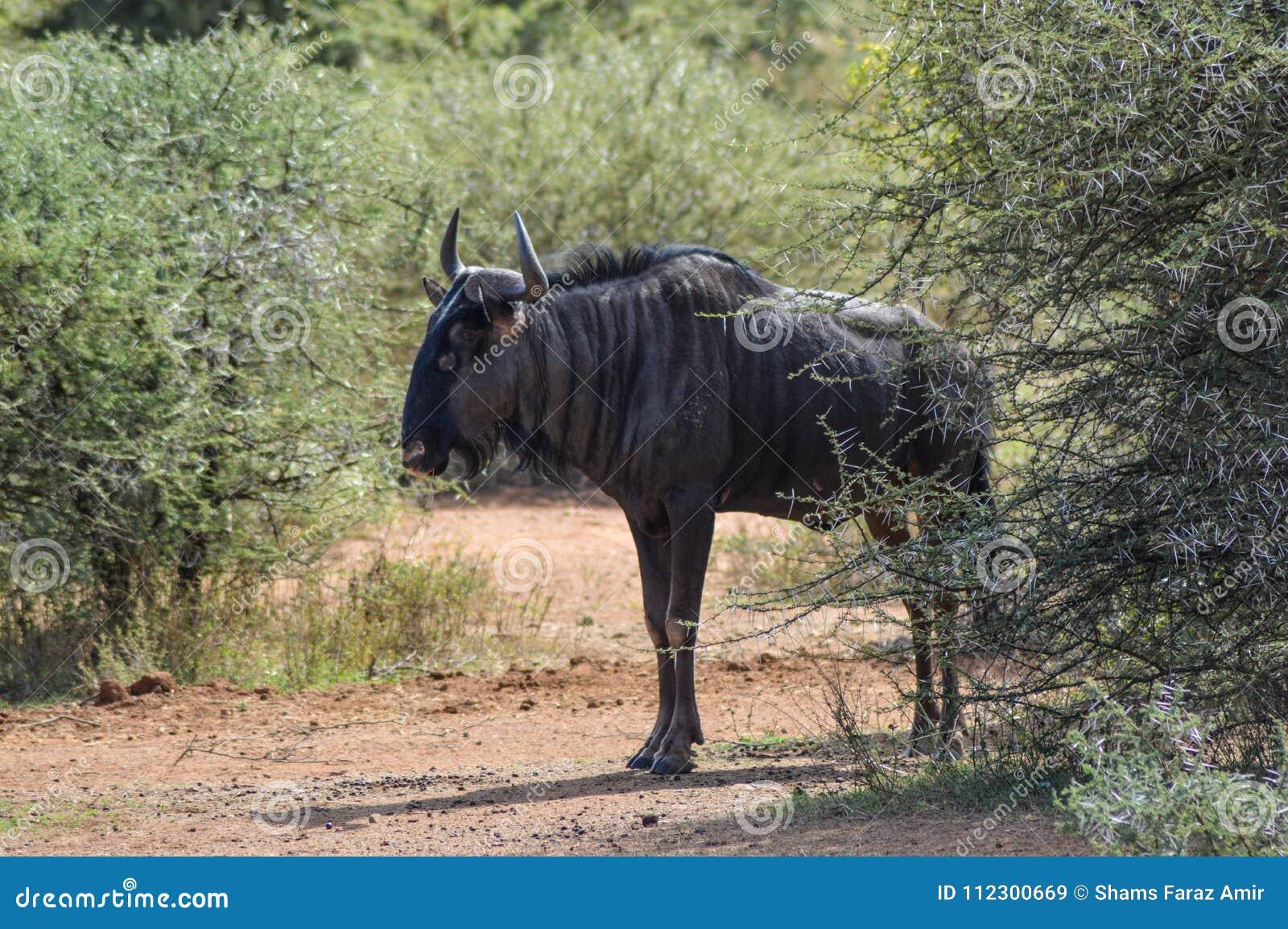 Błękitny wildebeest w Kruger parku narodowym
