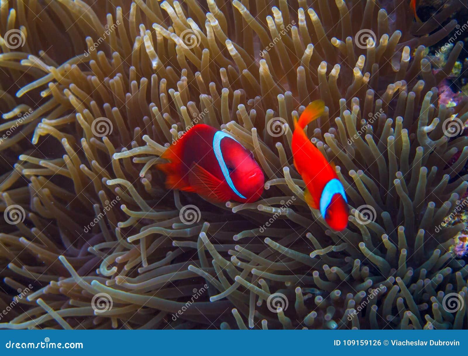 Błazen ryba w aktynach Pomarańczowy Clownfish w anemonie Koral rybia podwodna fotografia