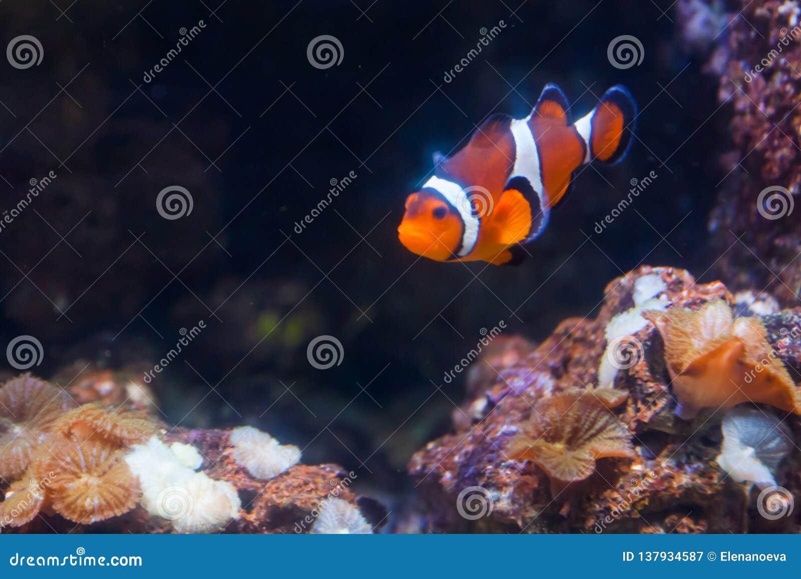 Błazenu anemon lub ryba Cudowny i piękny podwodny świat z