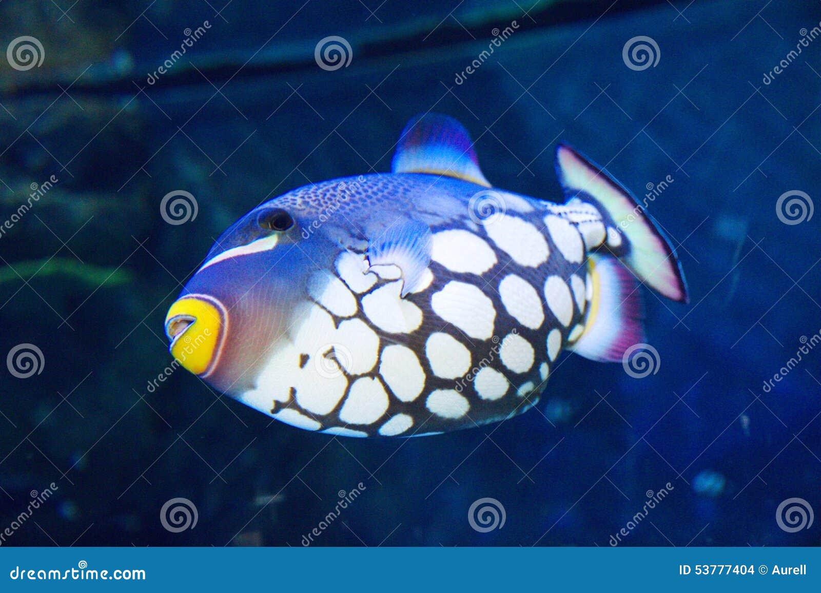 Błazenu cyngla ryba
