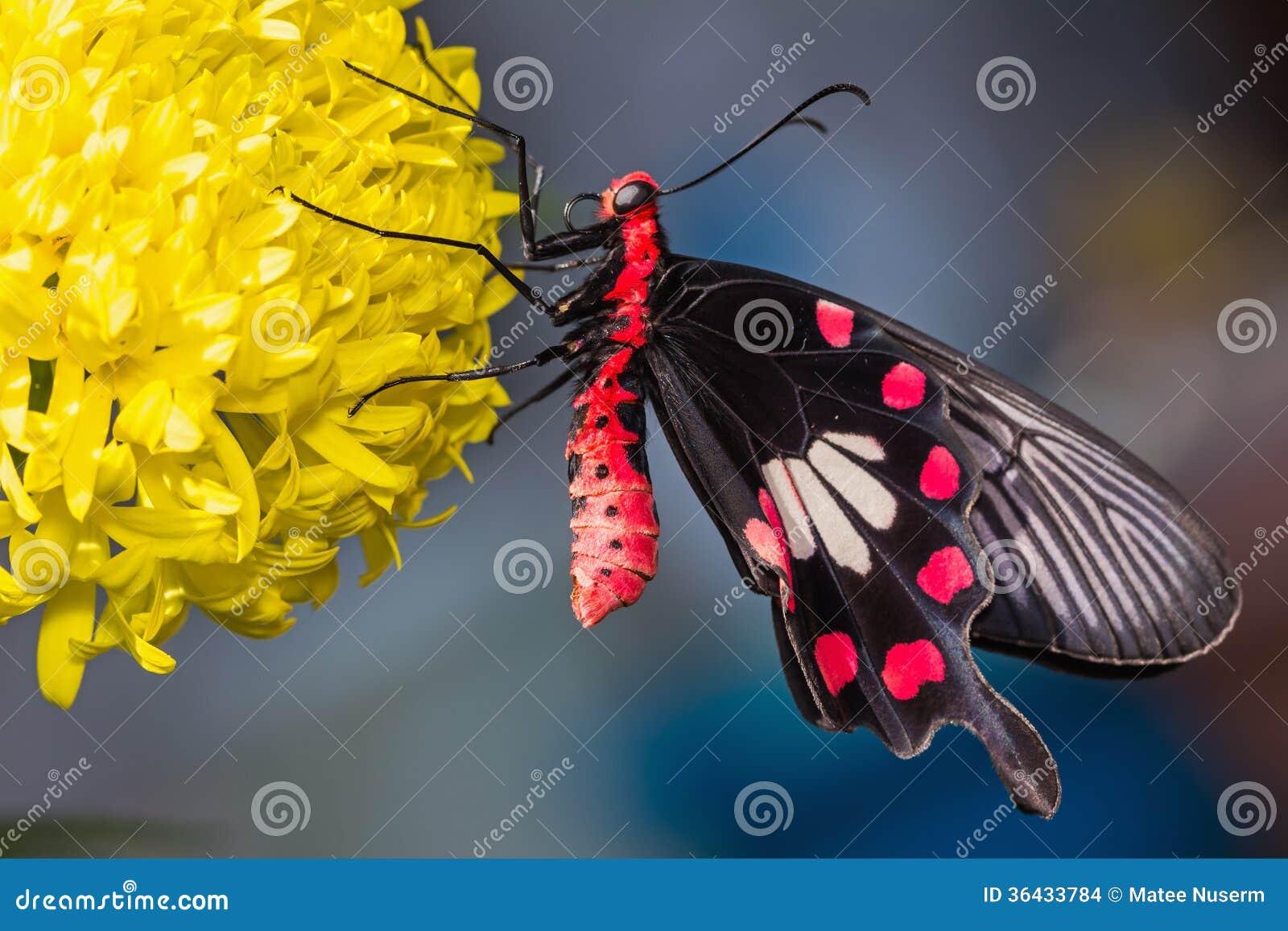 Błonie różany motyl