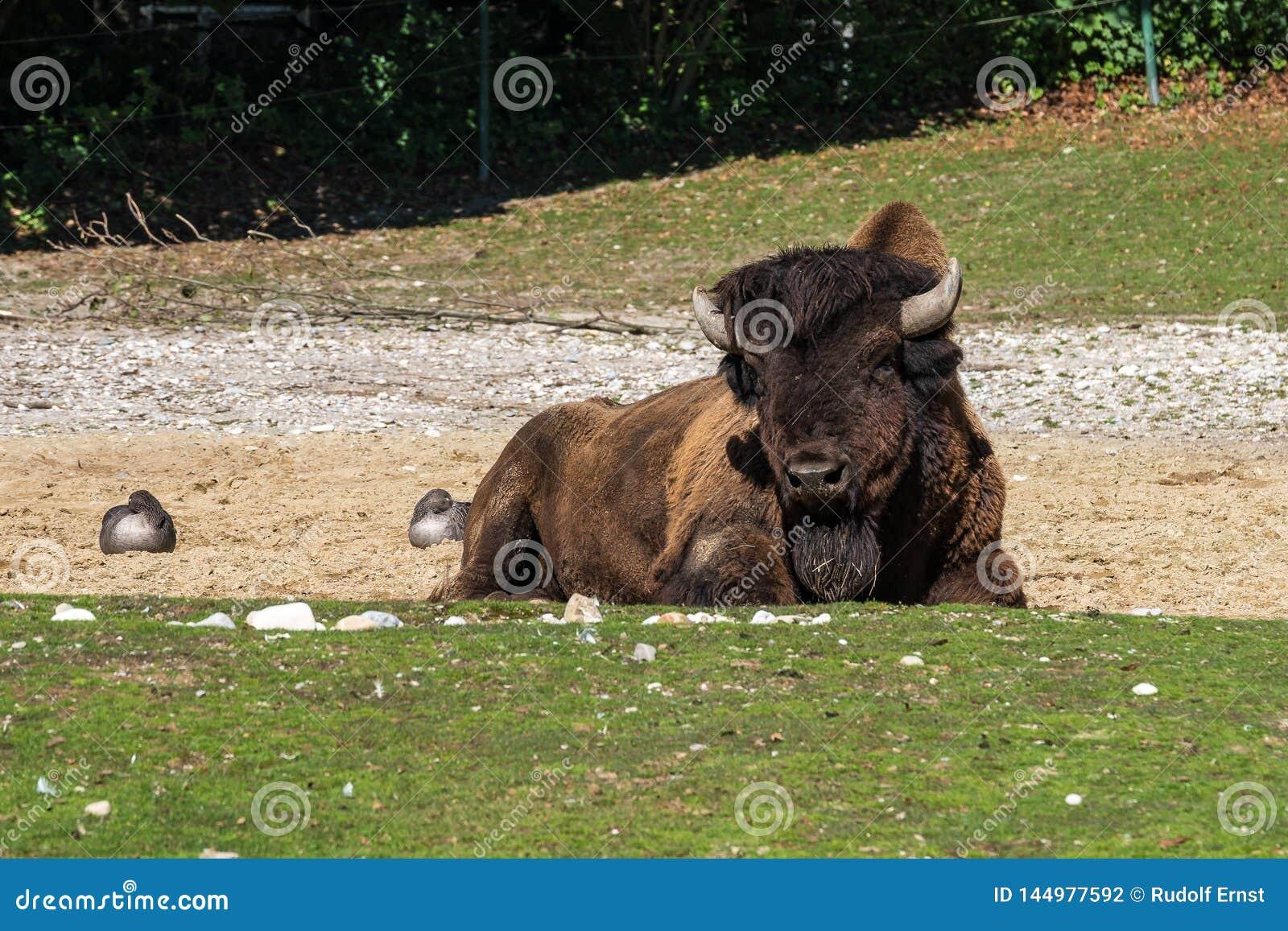 B?falo americano conocido como bisonte, bisonte del Bos en el parque zool?gico