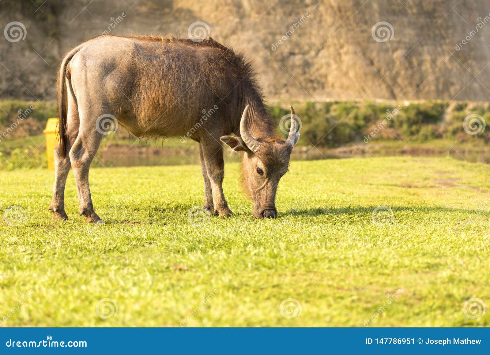 B?falo que come la hierba en el campo Pokhara Nepal