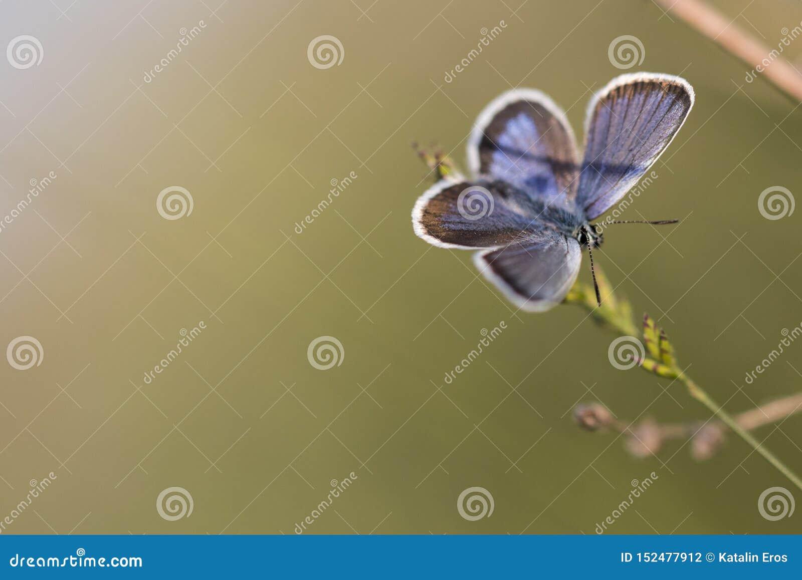 B??kitny motyli odpoczywa? na ostrzu trawa