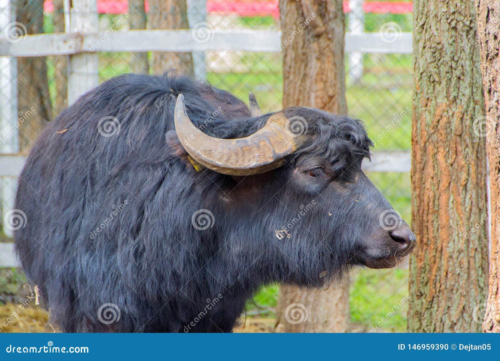 B?tail domestiques noirs, taureau