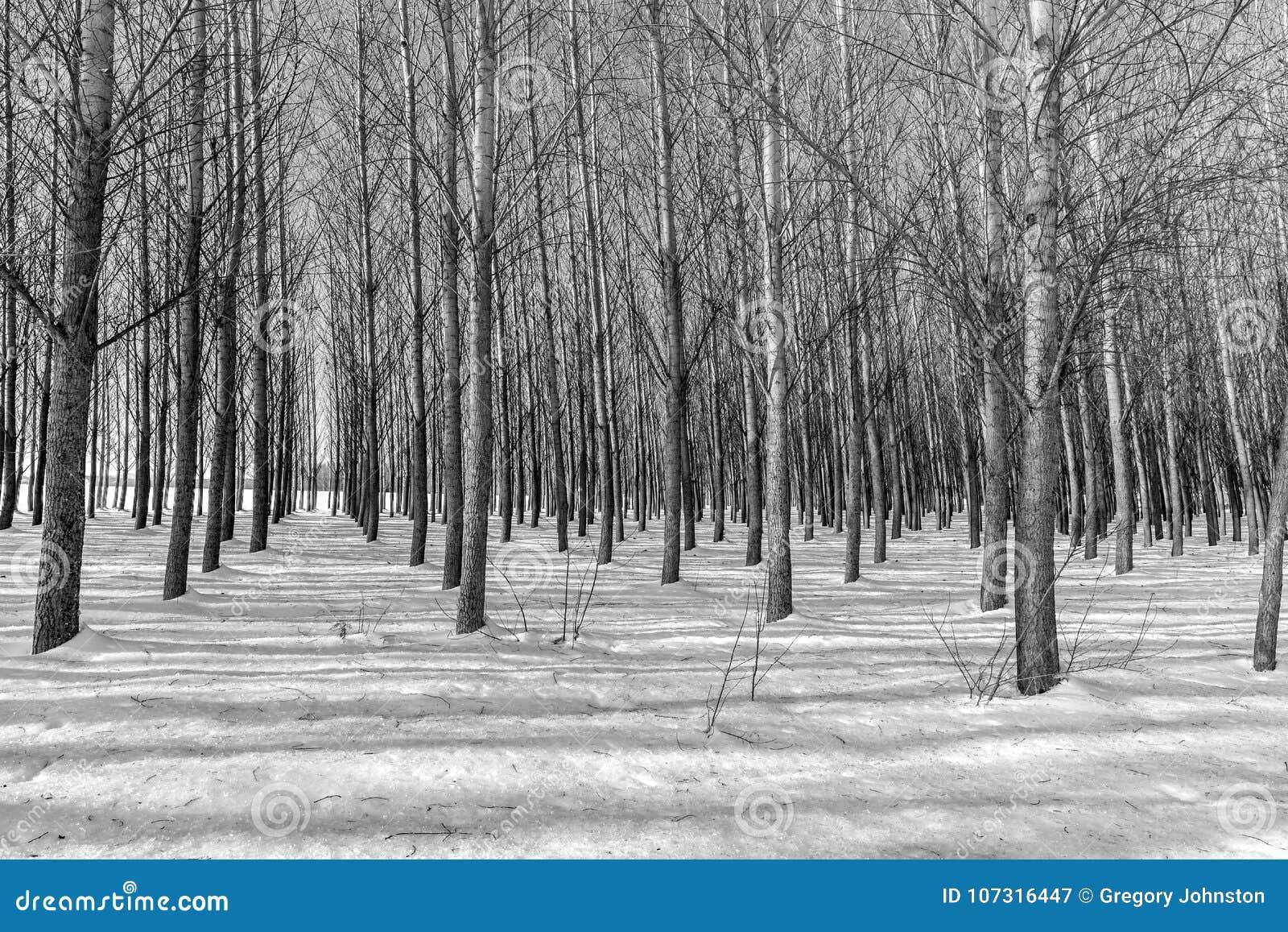 B&W des rangées des arbres en hiver