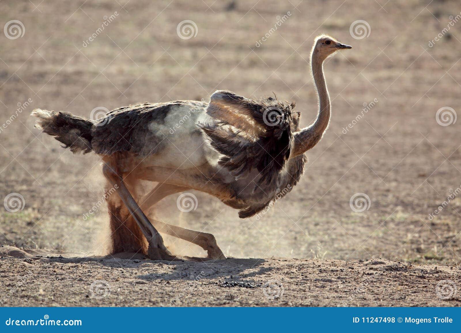 Baño del polvo de la avestruz, desierto de Kalahari