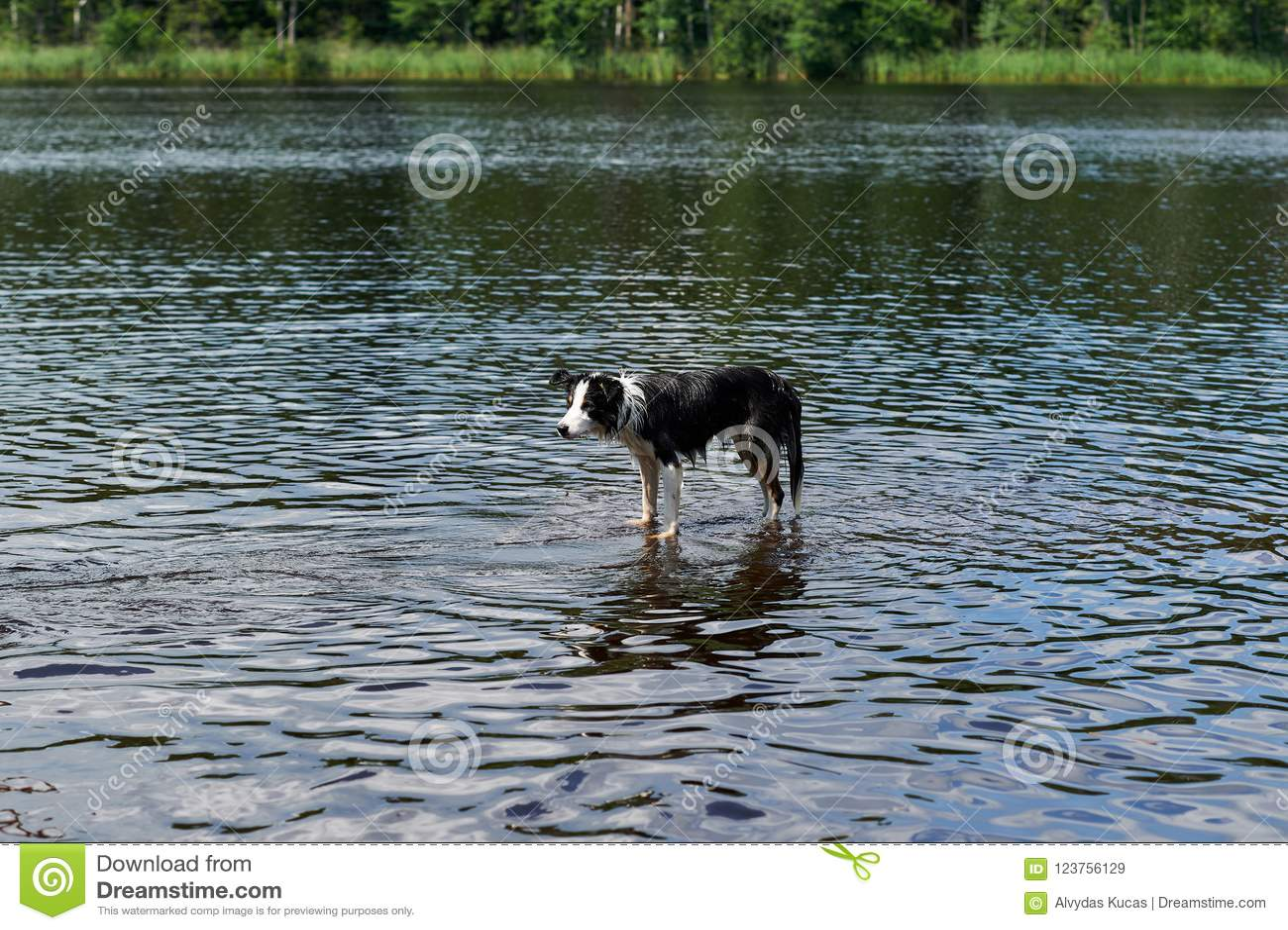 Banos Lago.Banos Del Perro Del Border Collie En El Lago Imagen De