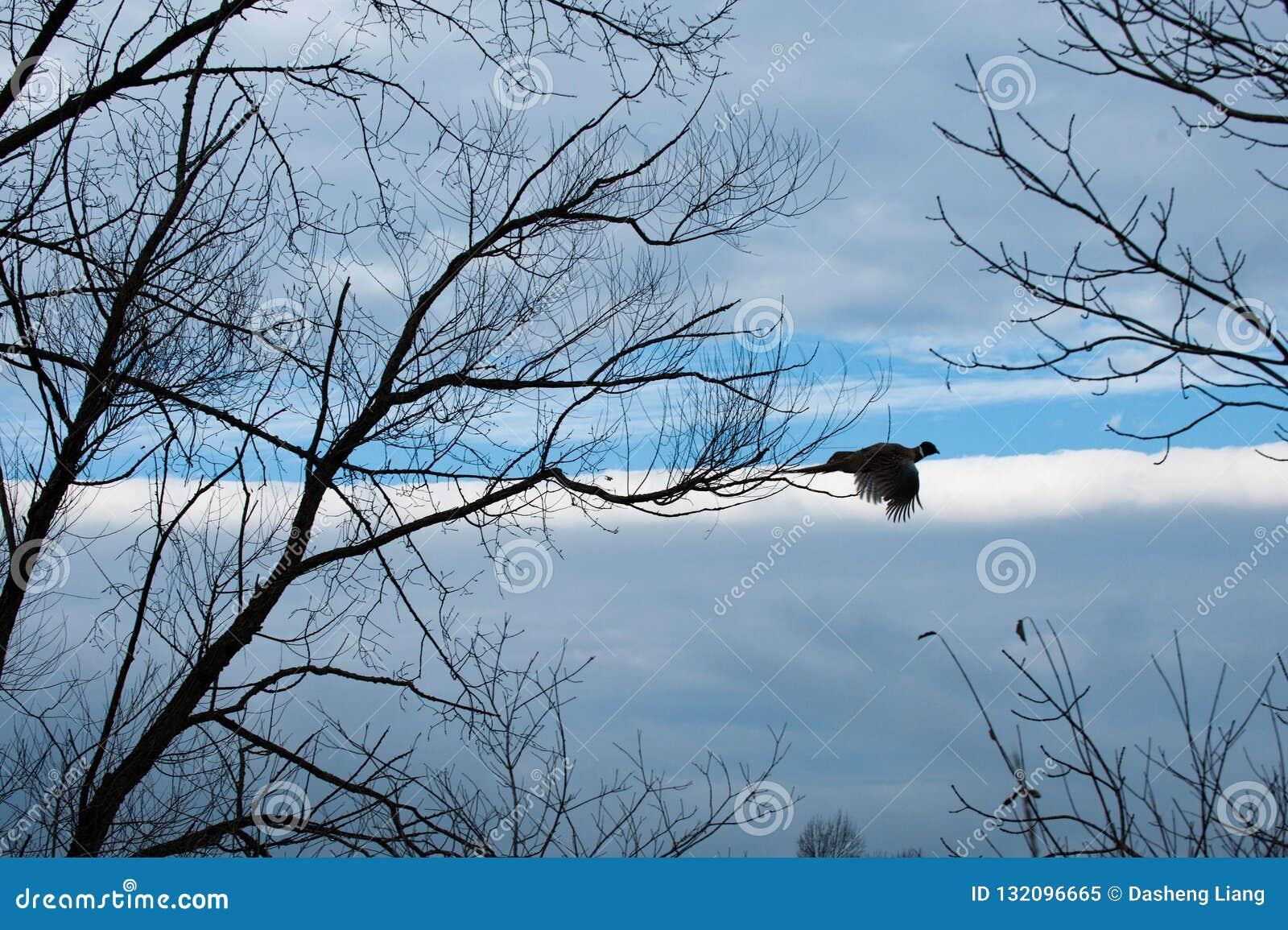 Bażanta latanie w niebie