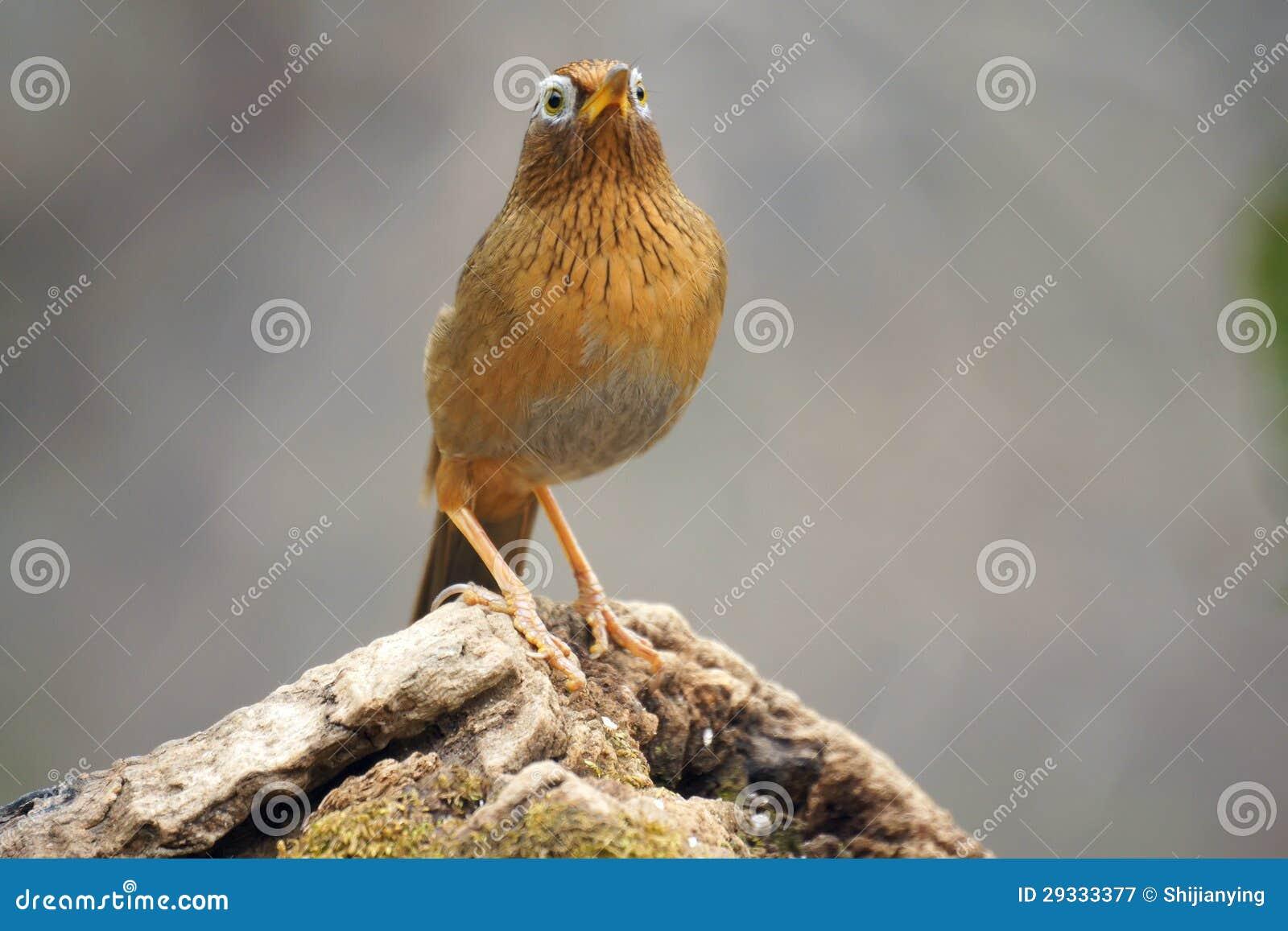 Babbling thrush