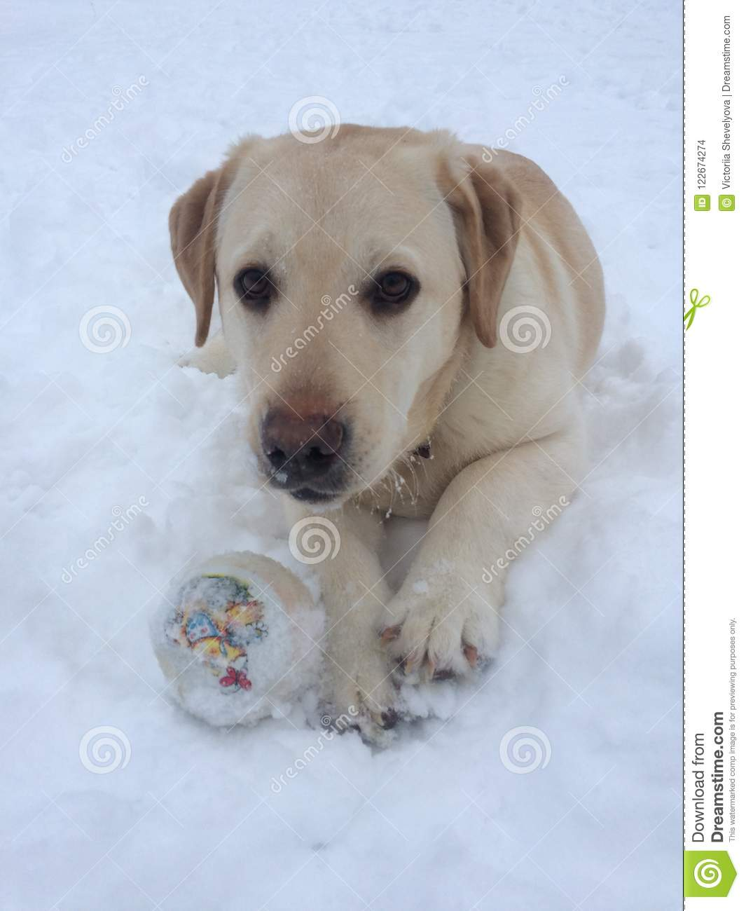 Babe Labrador stock photo  Image of passed, plants, giving