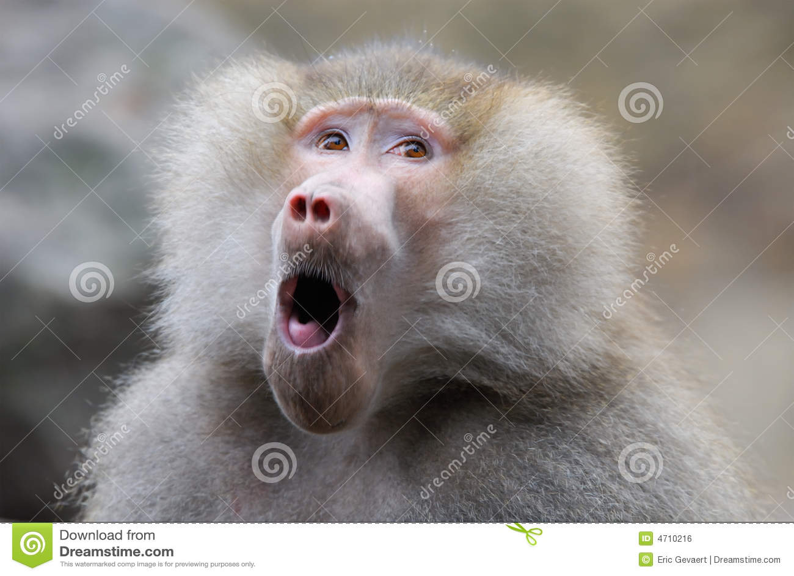 Baboon αστείο