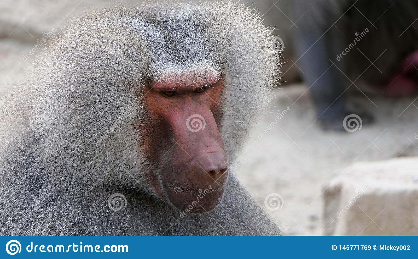 Baboon κινηματογράφηση σε πρώτο πλάνο πορτρέτου