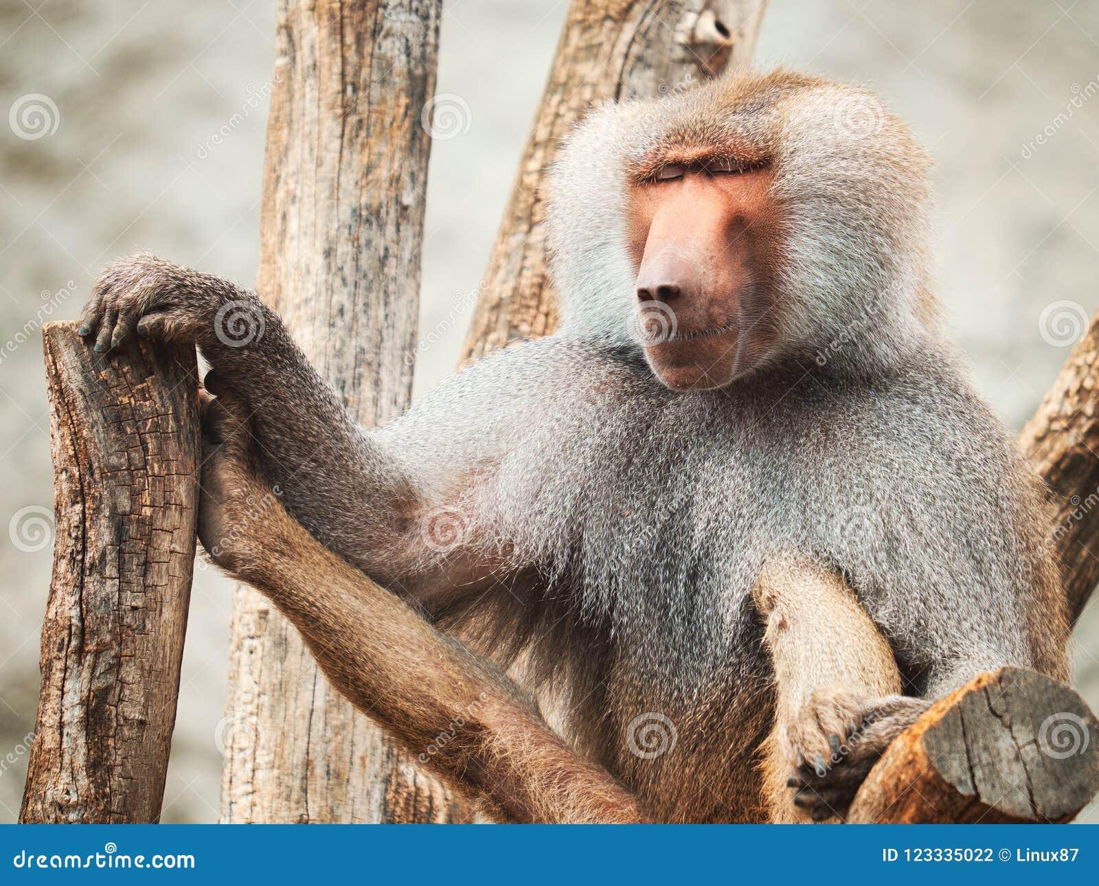 Baboon πορτρέτο