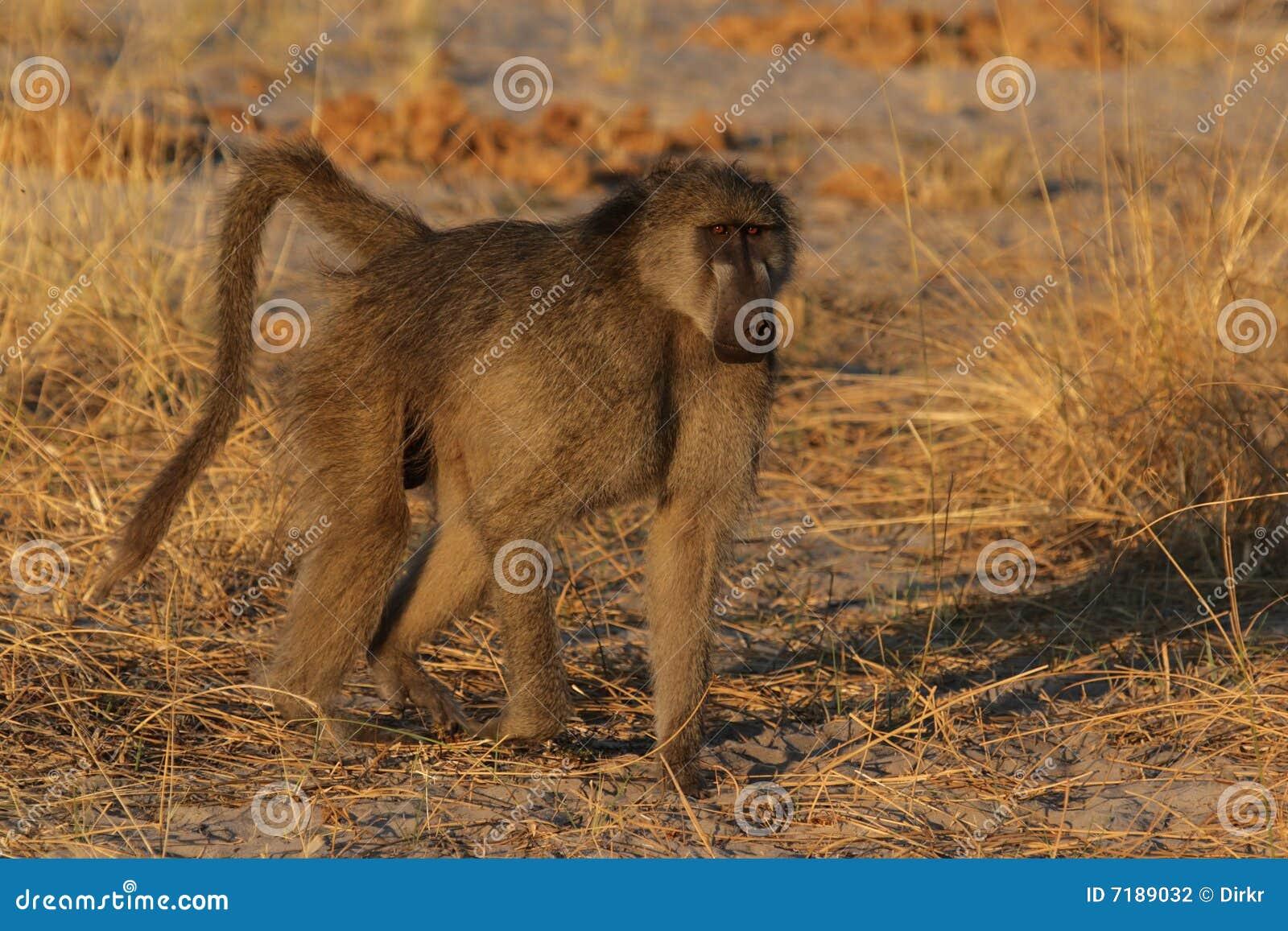 Baboon σαβάνα