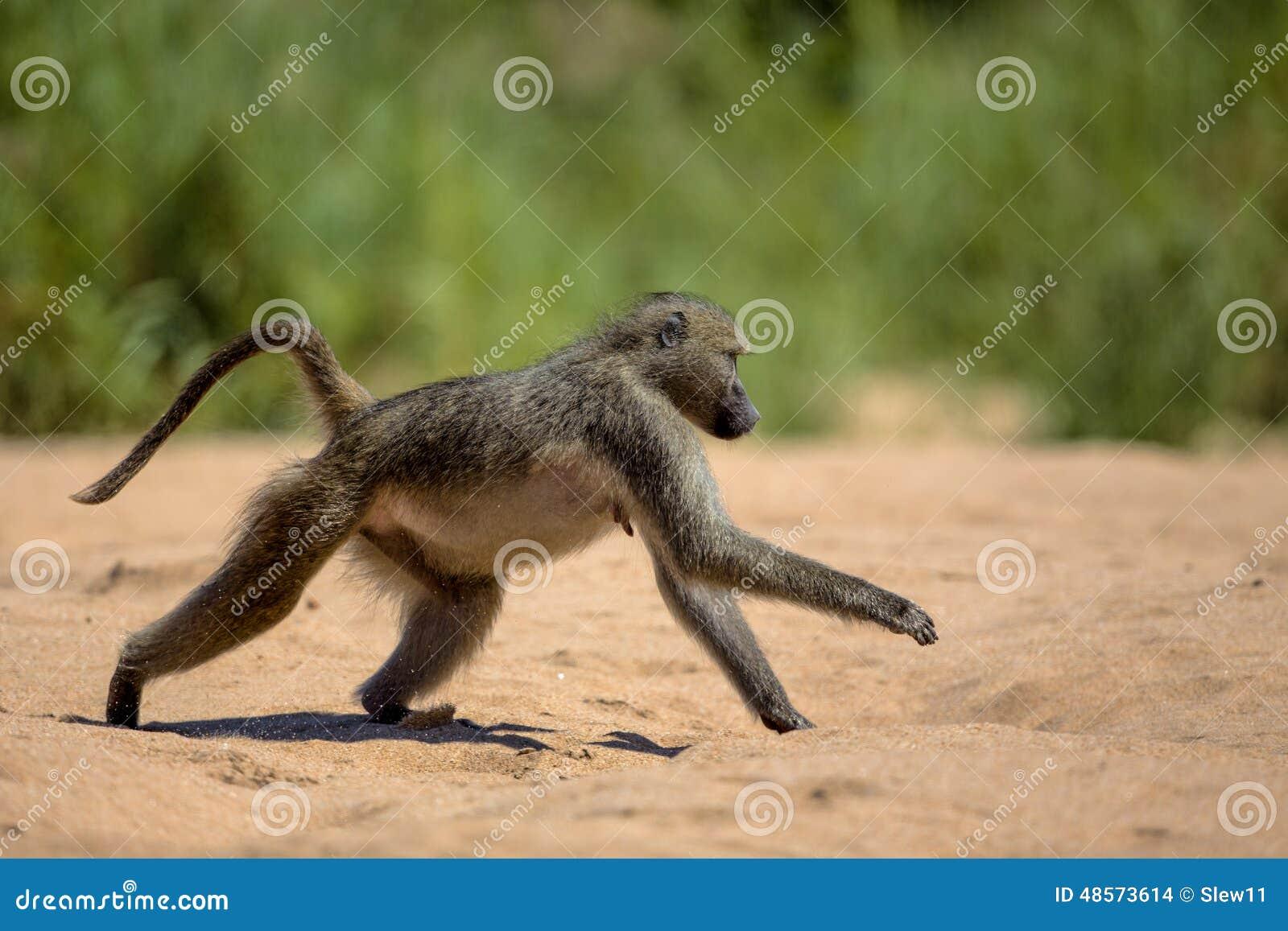Baboon στο εθνικό πάρκο Kruger