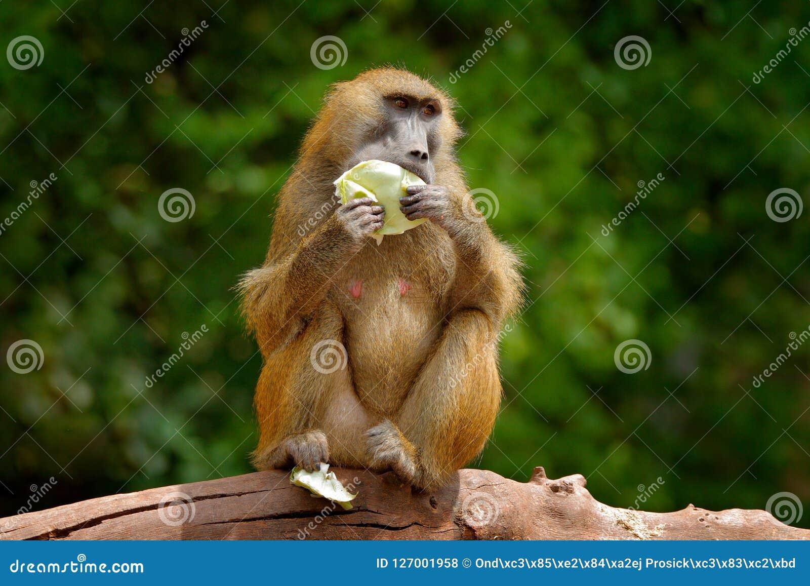 Baboon της Γουινέας, papio Papio, πίθηκος από τη Γουινέα, Σενεγάλη και Γκάμπια Άγριο θηλαστικό στο βιότοπο φύσης Φρούτα σίτισης π