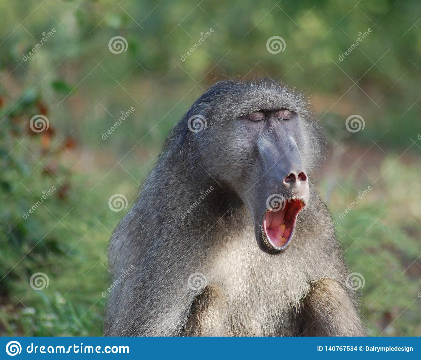 Baboon Chacma χασμουρητό