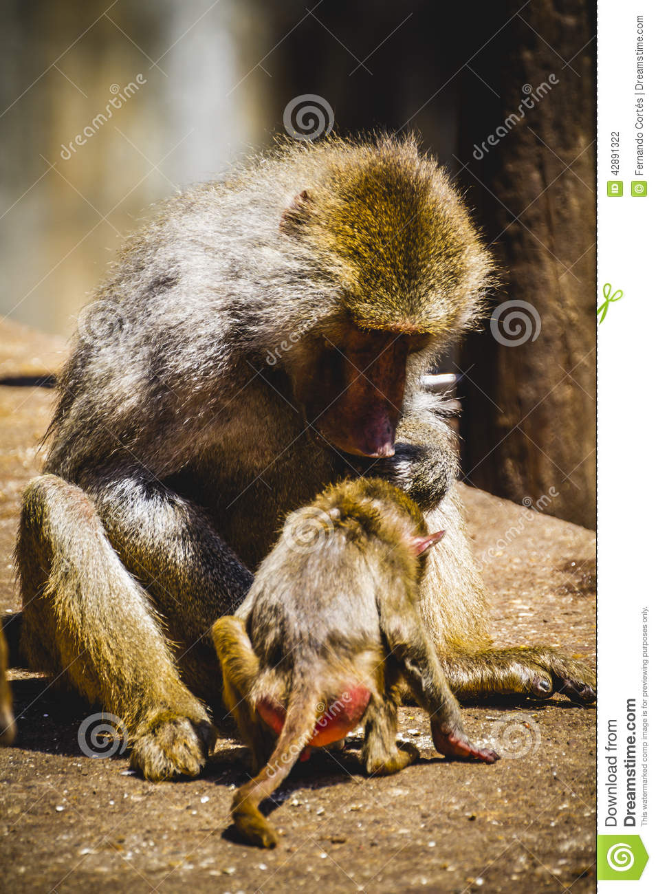 Baboon eating a family group and monkey